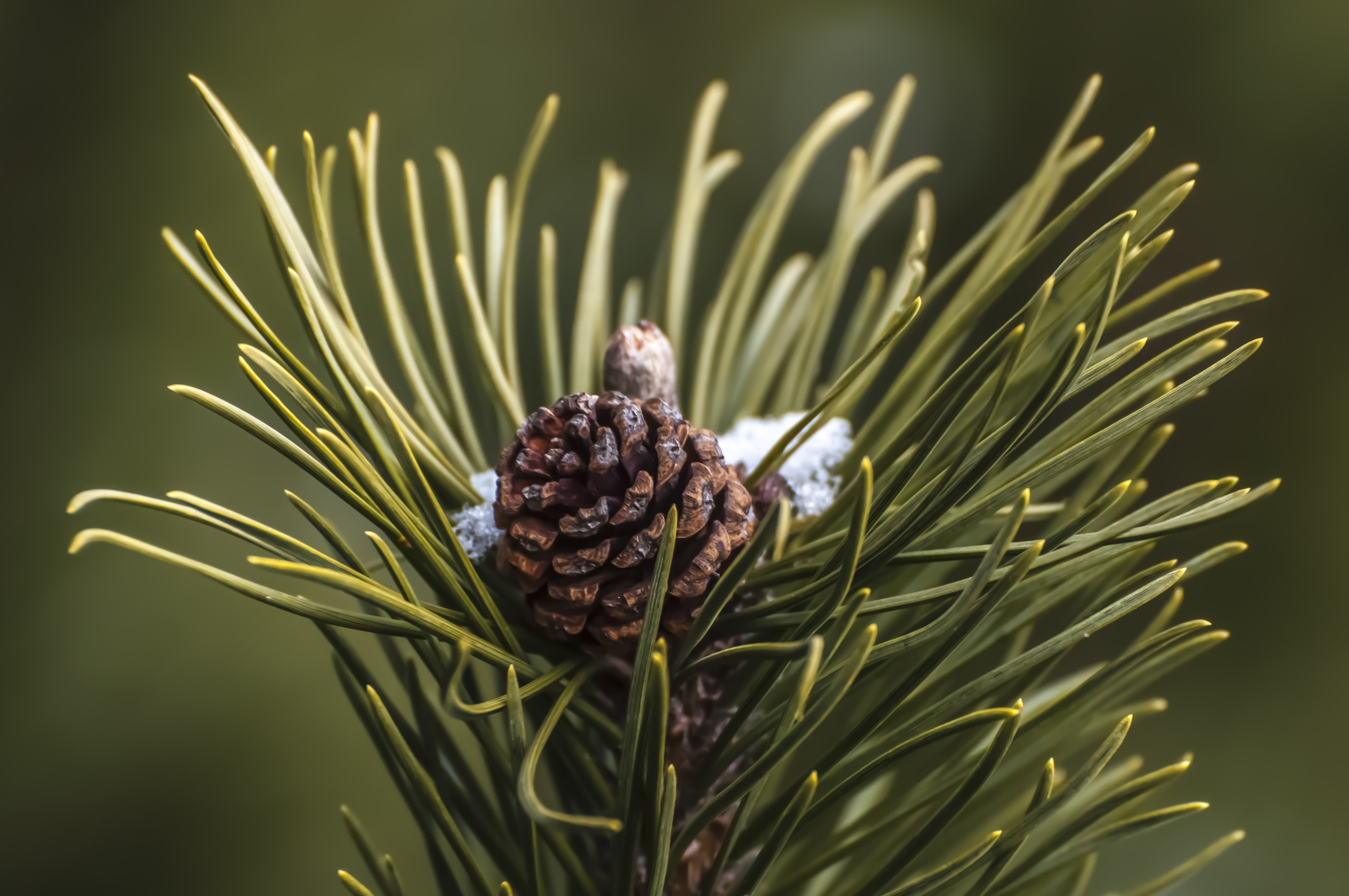 Pine cone visible between pine needles, on a bed of snow