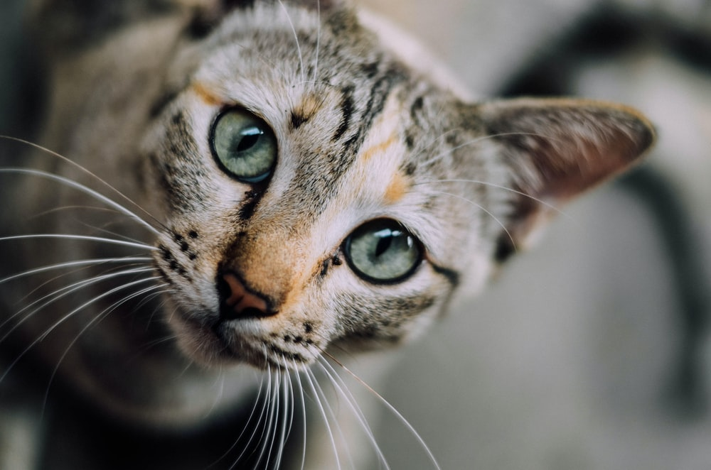 A grey cat with whiskers