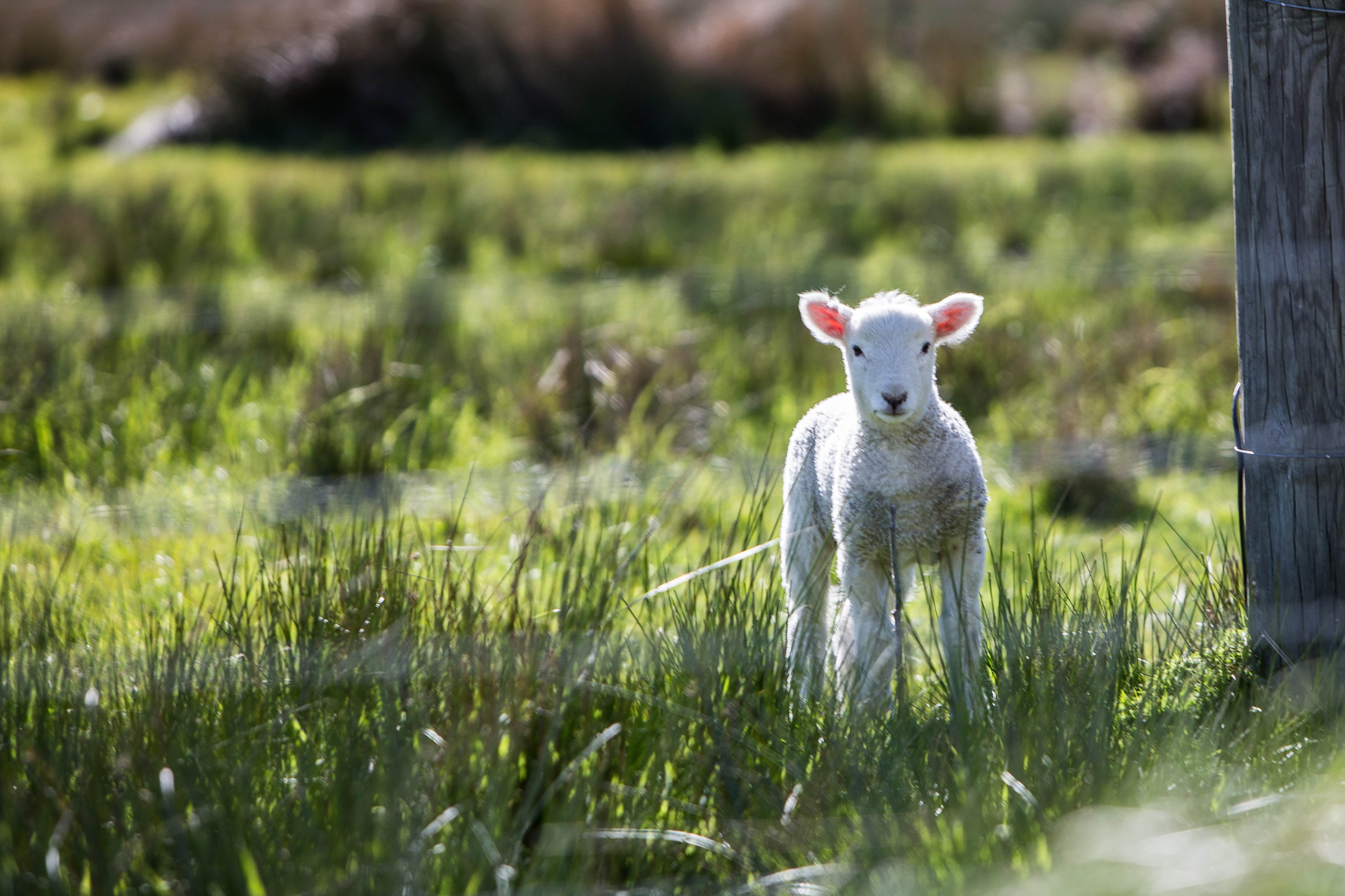 A baby lamb standing on a grassy area next to a wooden fence