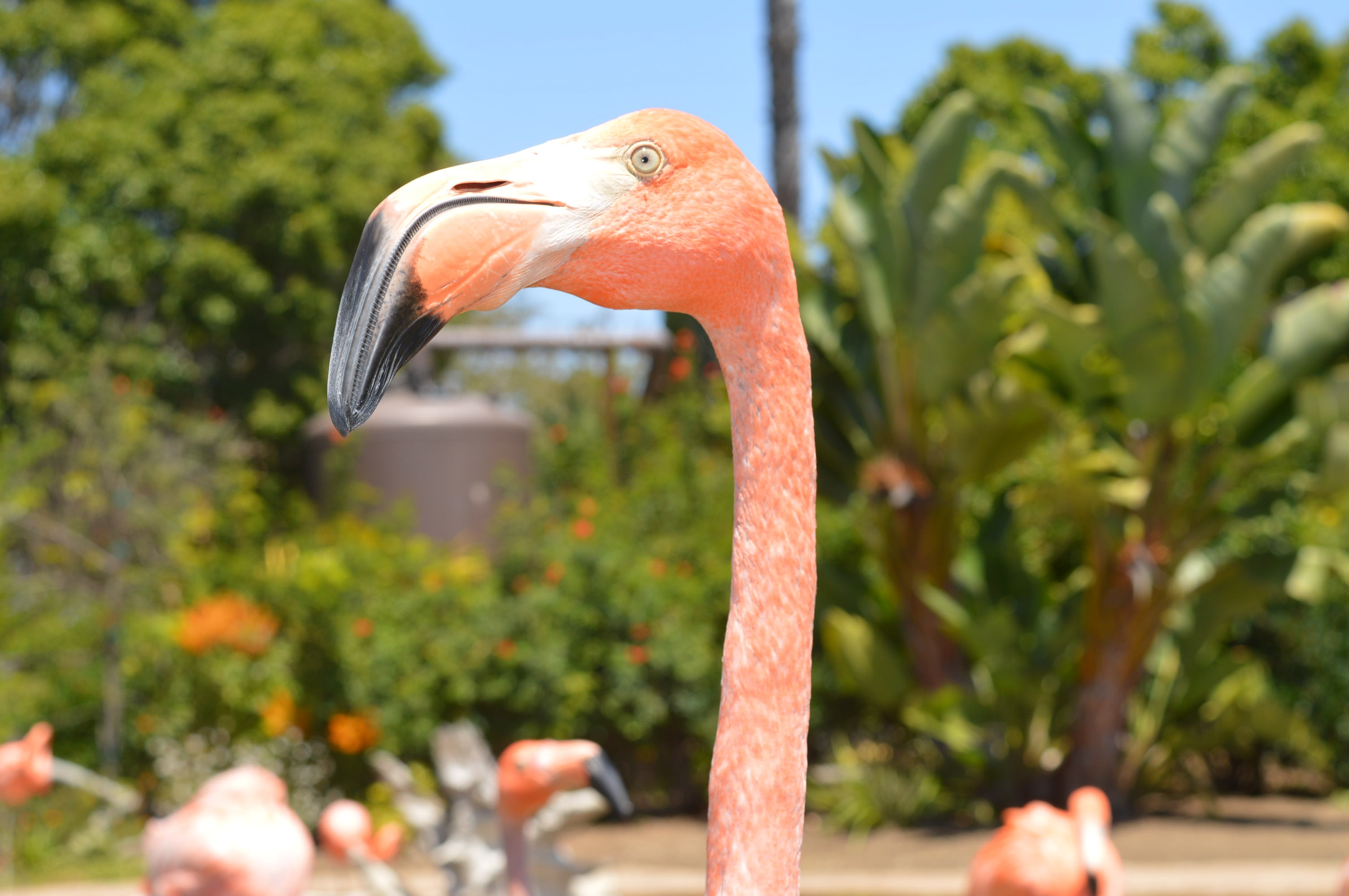Pink flamingo stretches its neck standing among its flock at the zoo