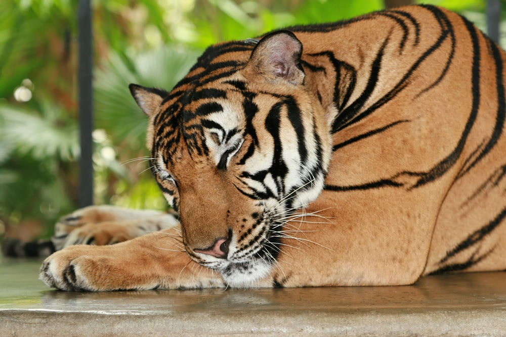 tiger sleeping on gray concrete surface
