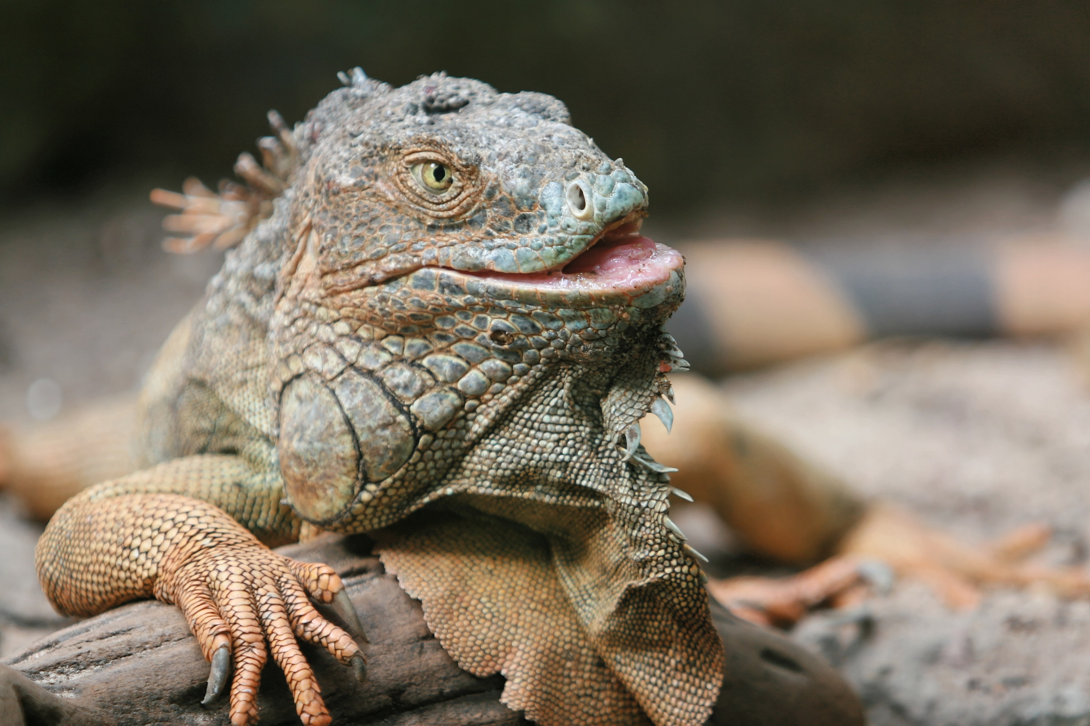 close-up photography of brown bearded dragon