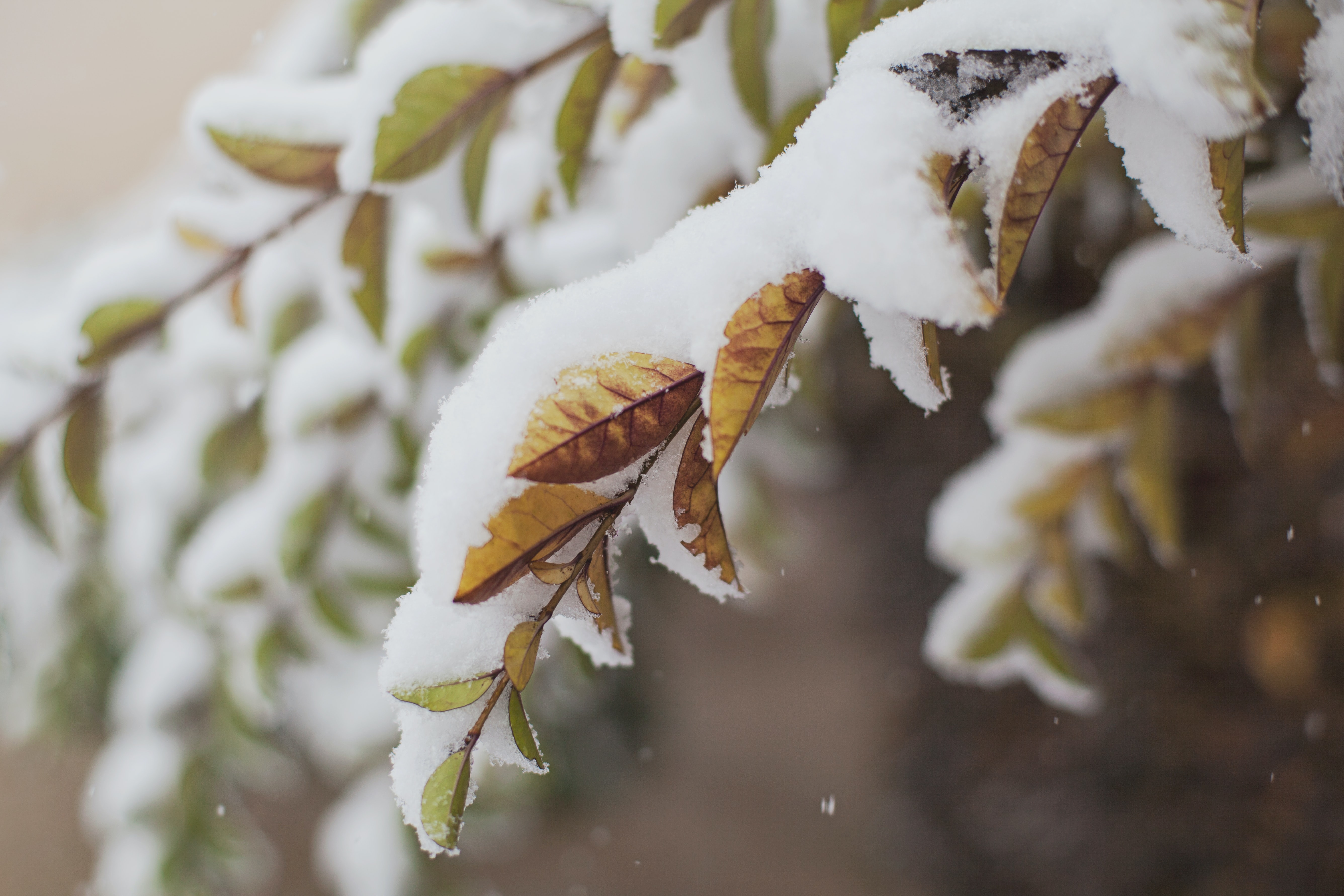 A close up of snow on leaves and branches in the winter in Romania