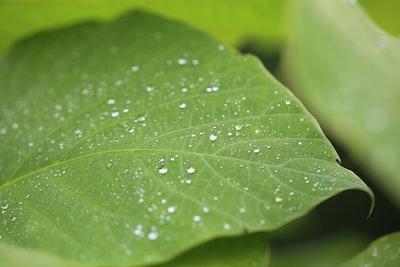 dew on green leaf at daytime drop teams background