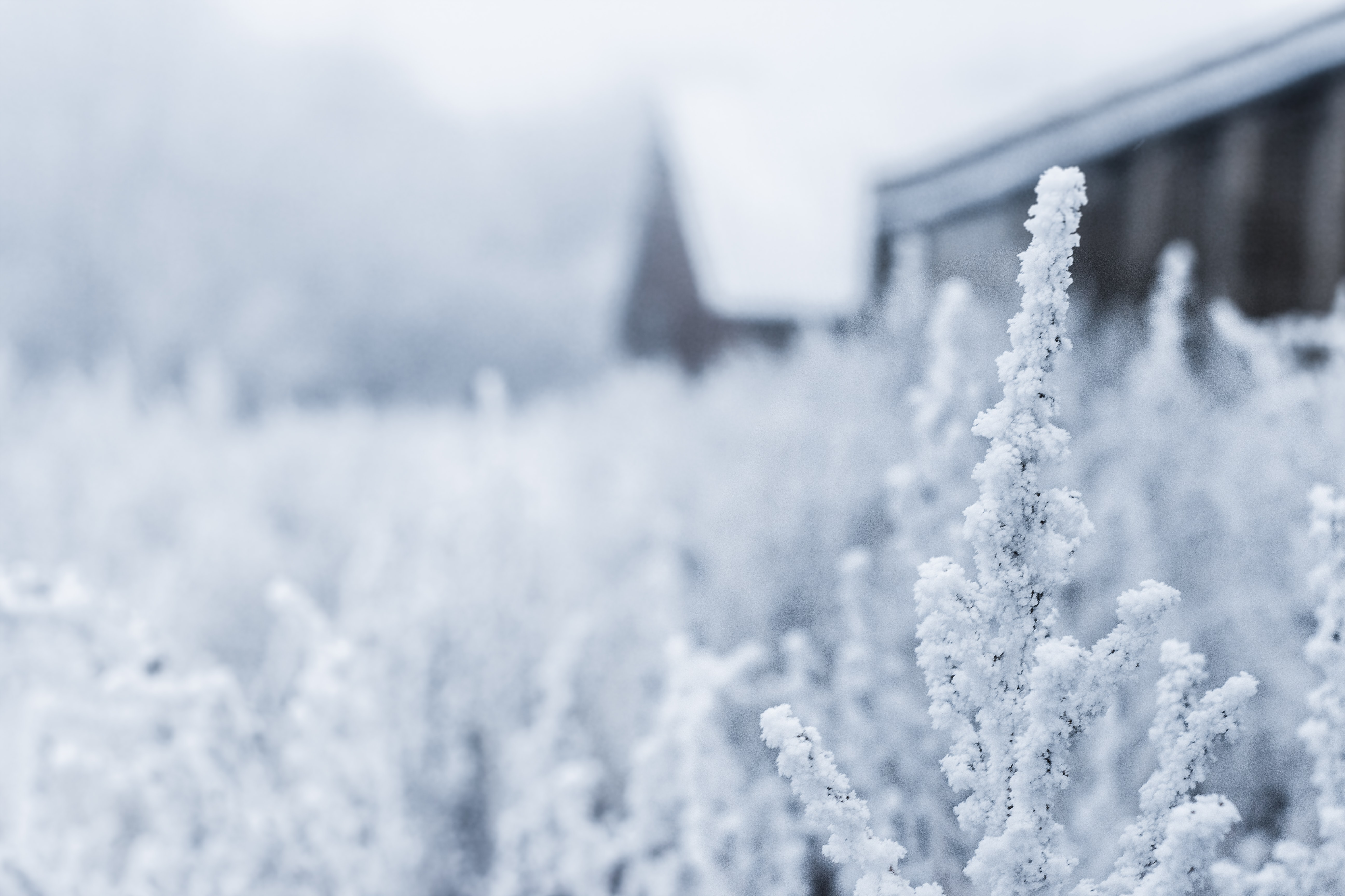 A field of plants covered in snow with part of a house visible in the background