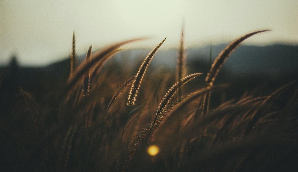 brown grasses