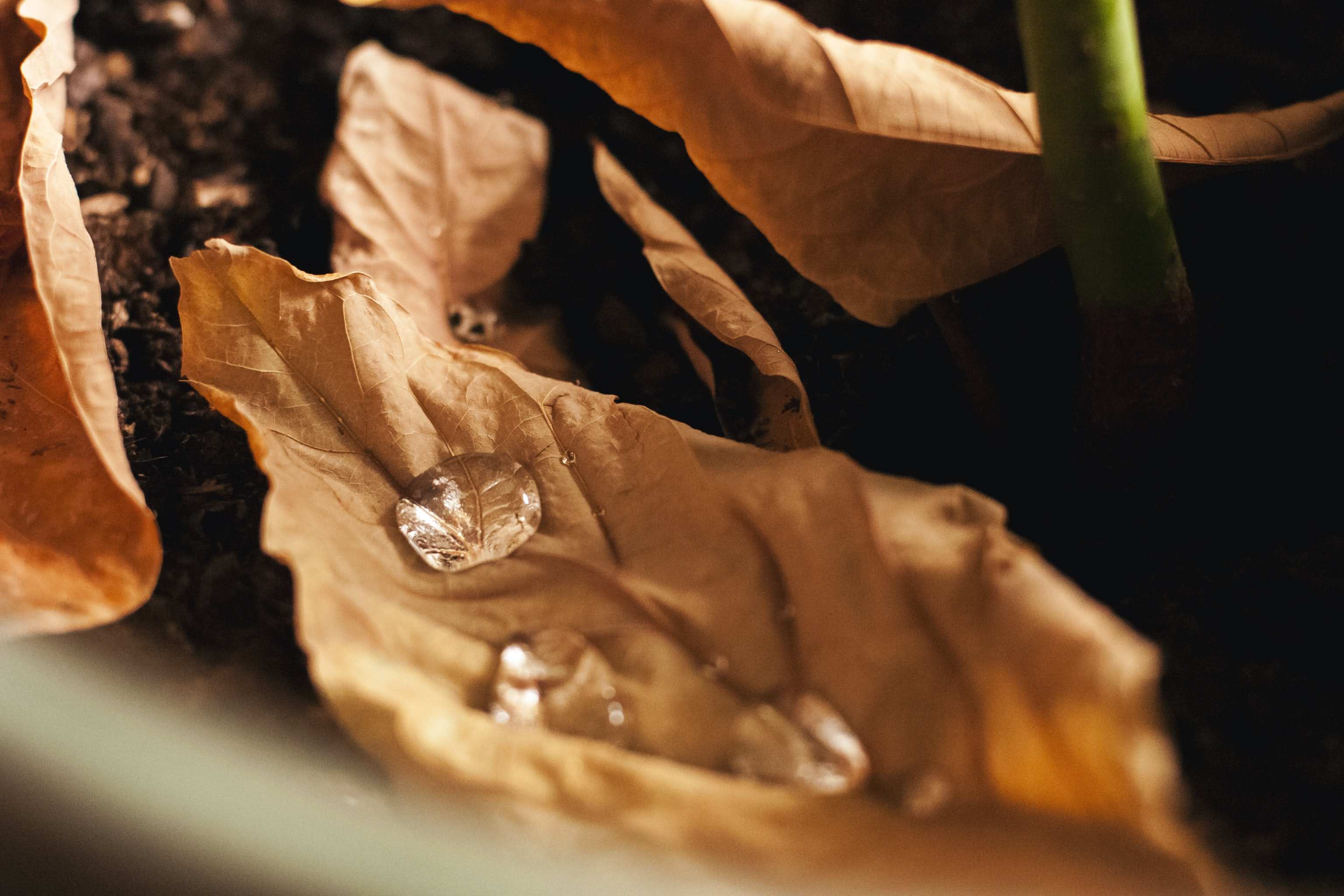 Water drops on an orange autumn leaf besides other leaves and a plant's stem on damp soil