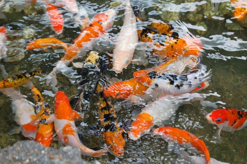 orange-and-grey koi fish