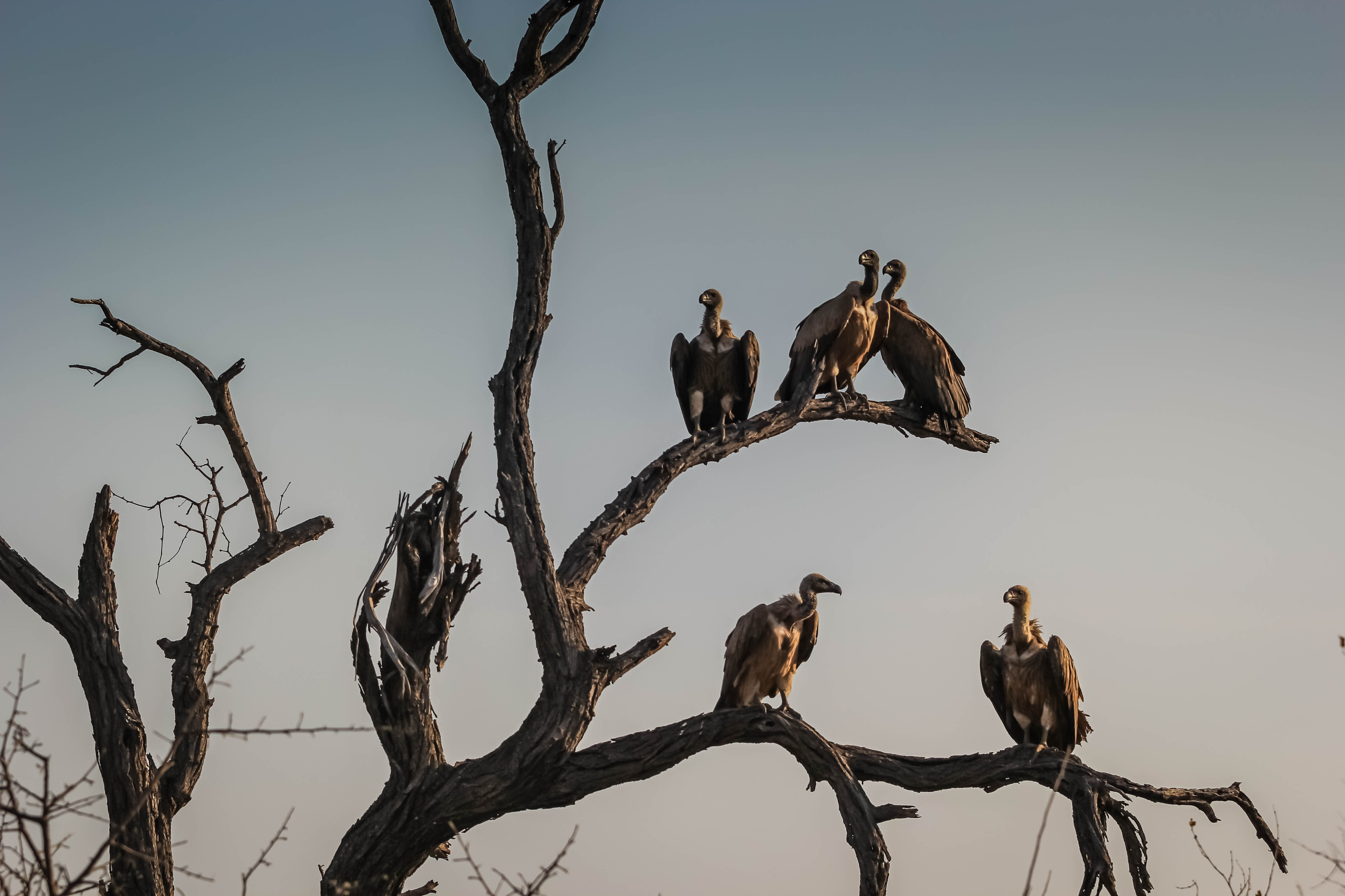 five vulture birds standing on bare tree