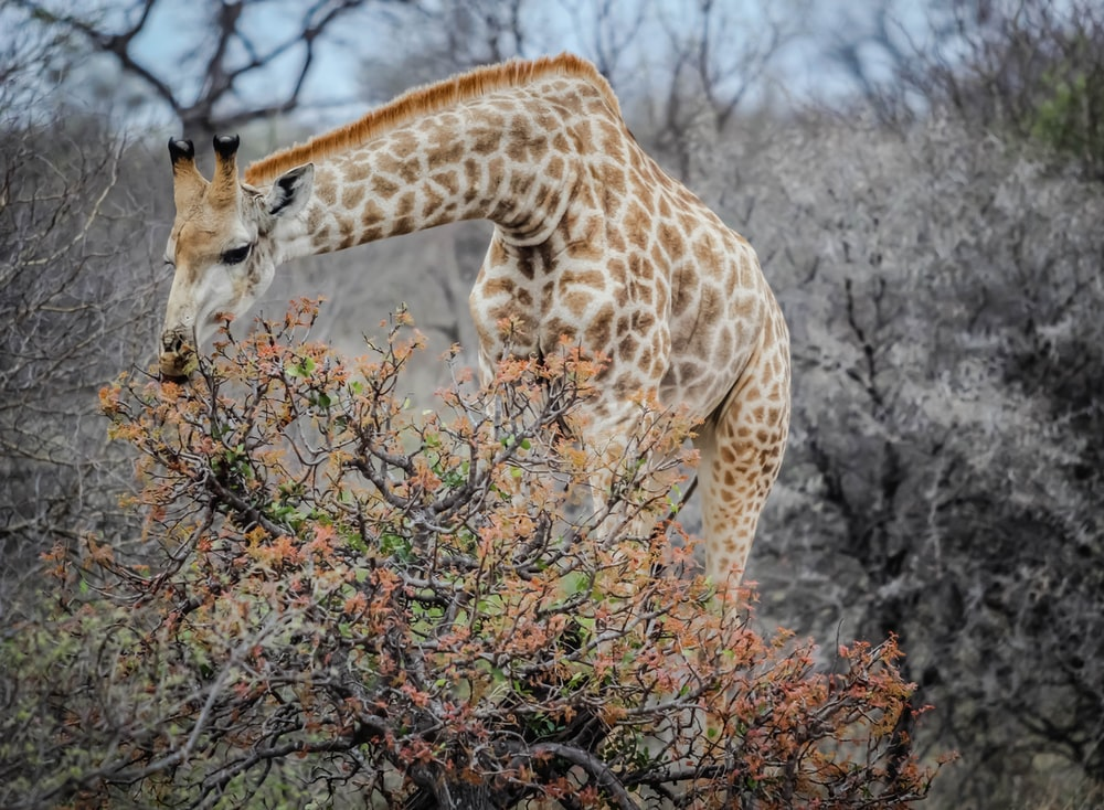 brown and white giraffe eating leaves