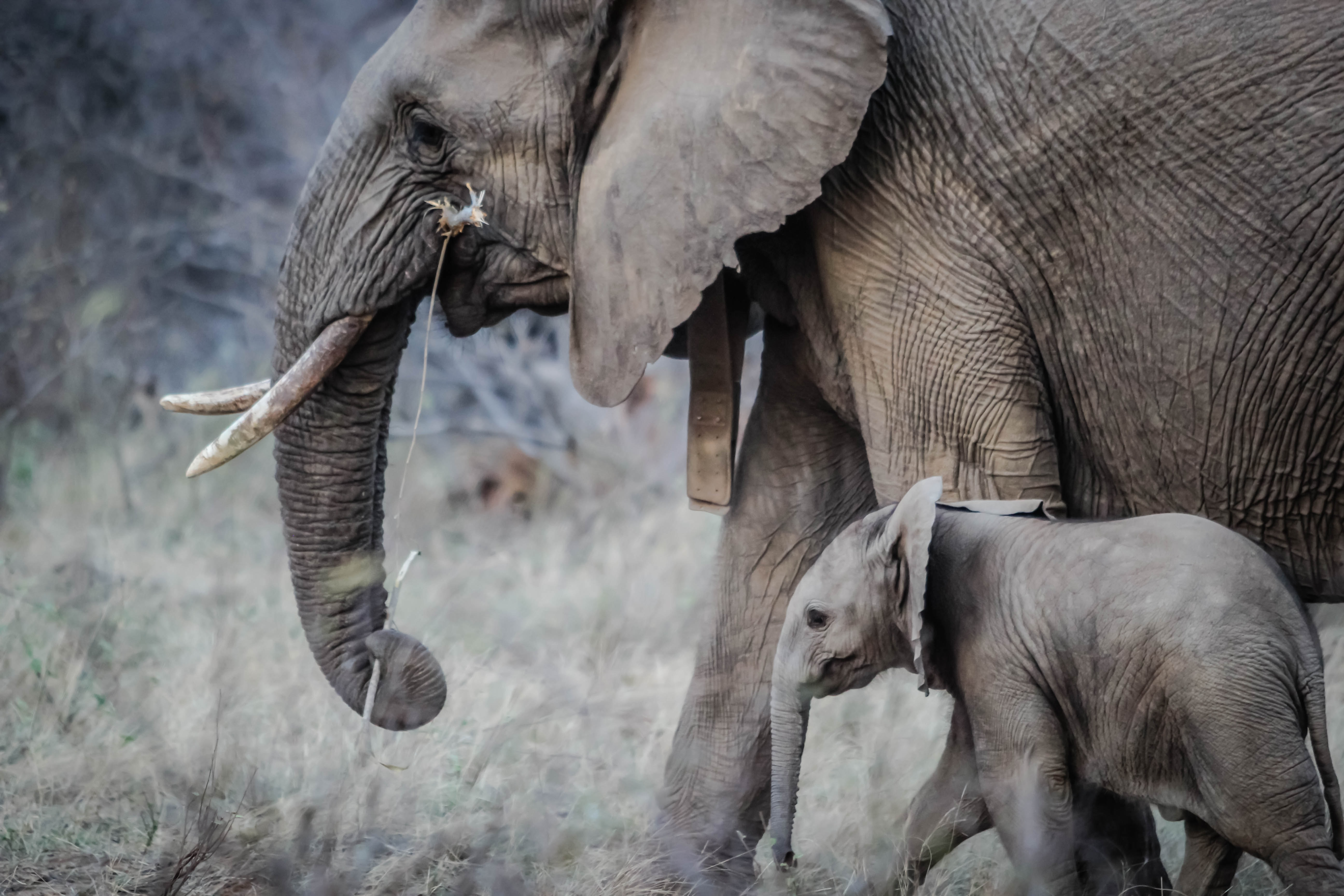 An elephant with ivory tusks walking next to a baby elephant in the wild