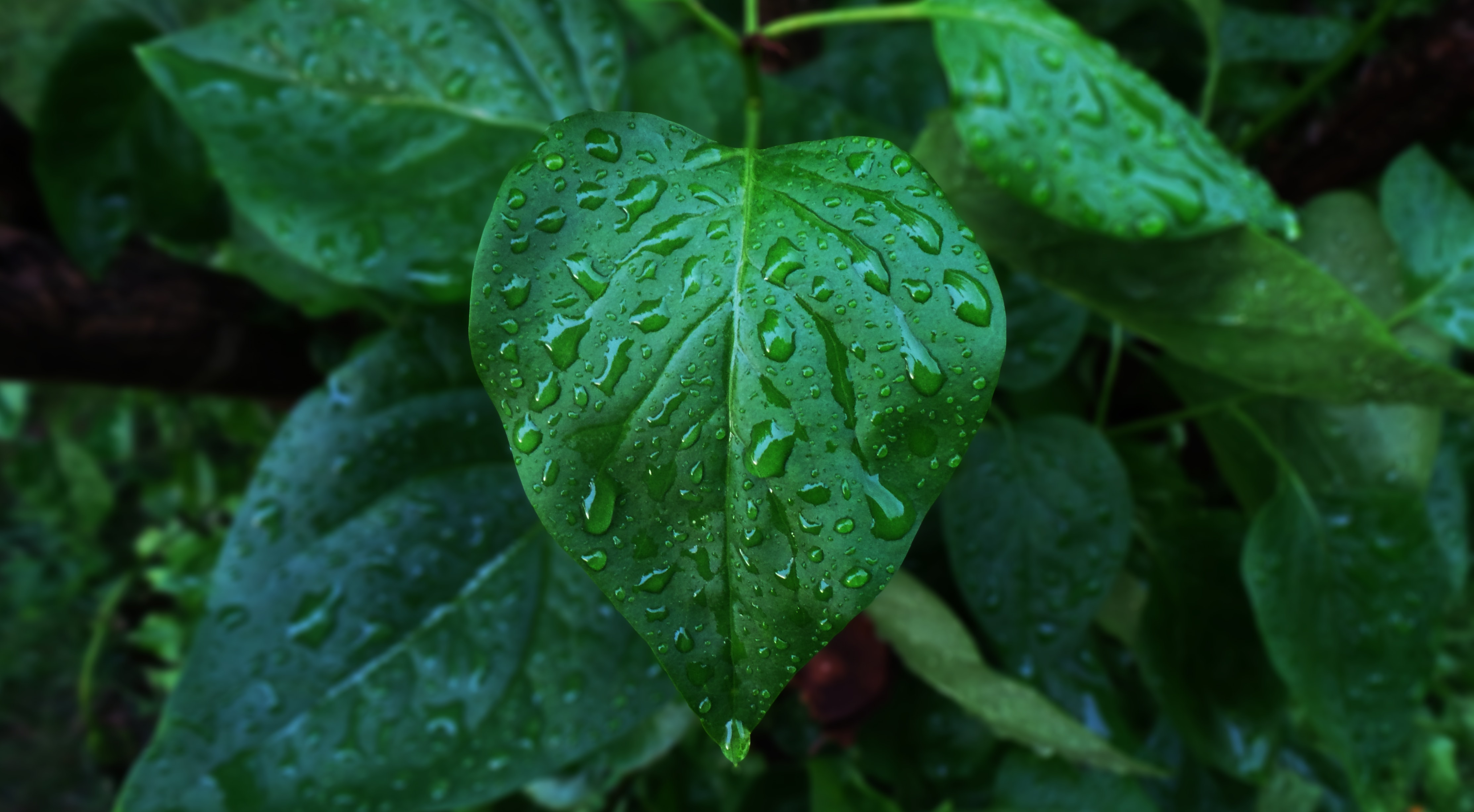 Water droplets fall on a green leafy plant