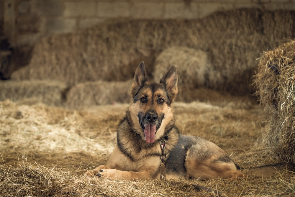 black and tan German shepherd during daytime