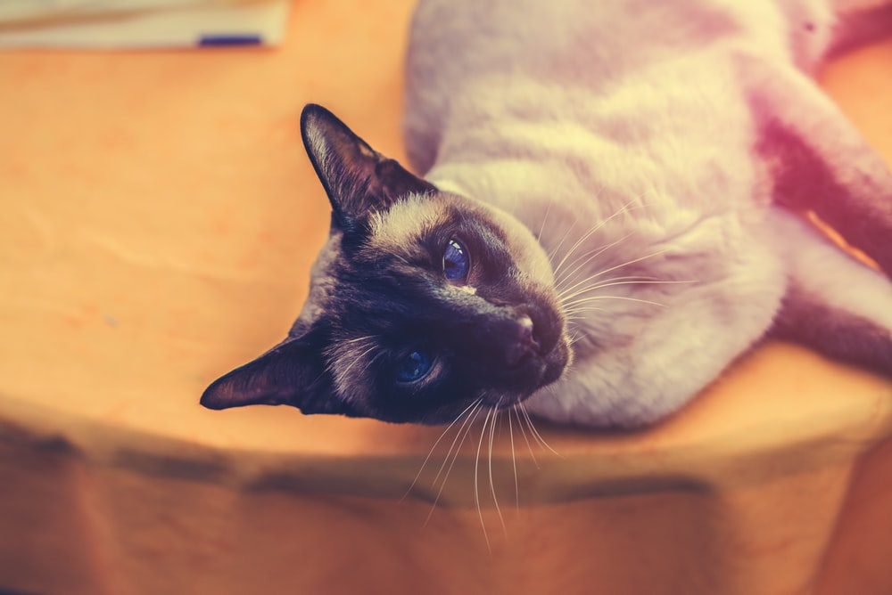 gray cat lying down on table
