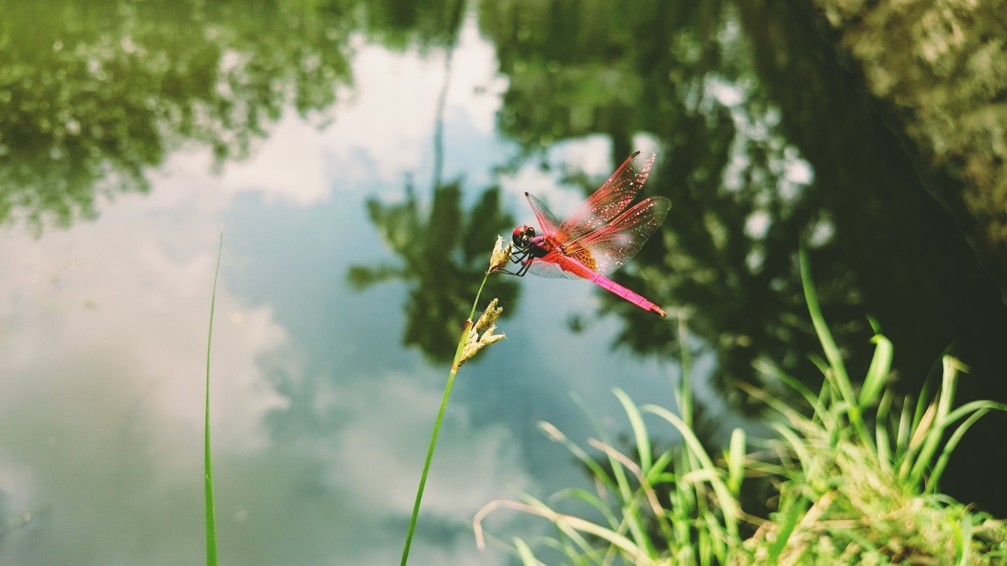 Pink dragonfly perches on a tall wildflower by the pond