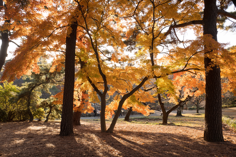 Large trees with orange leaves.