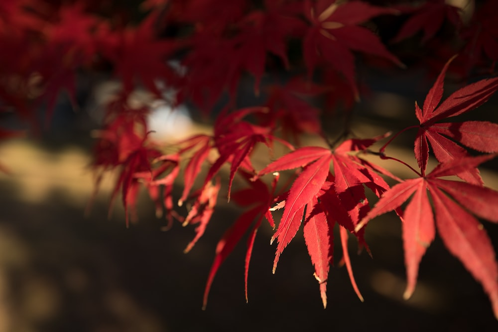 selective focus photo of red-leafed maple tree