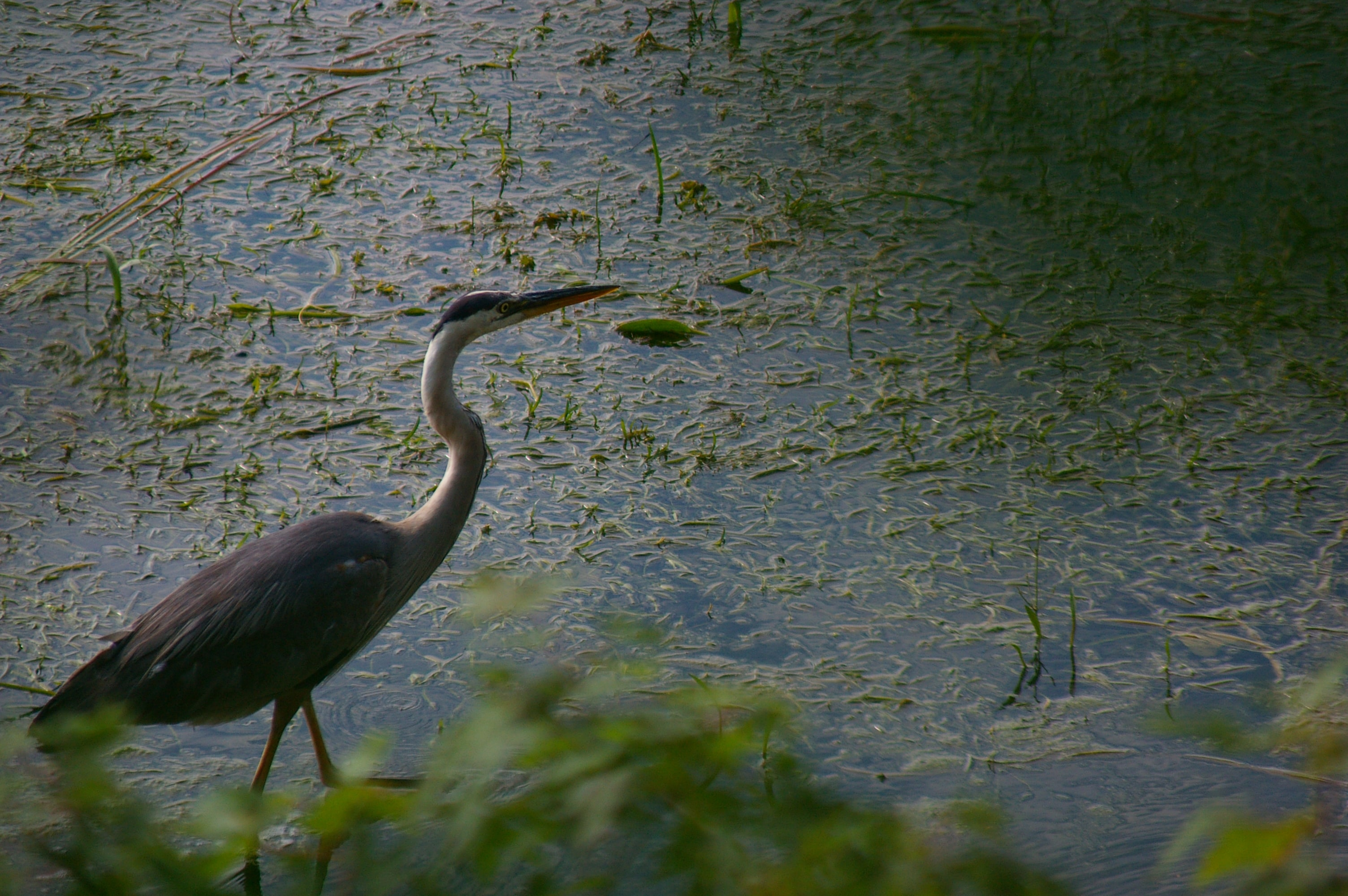 Majestic heron bird wades in murky blue pond water