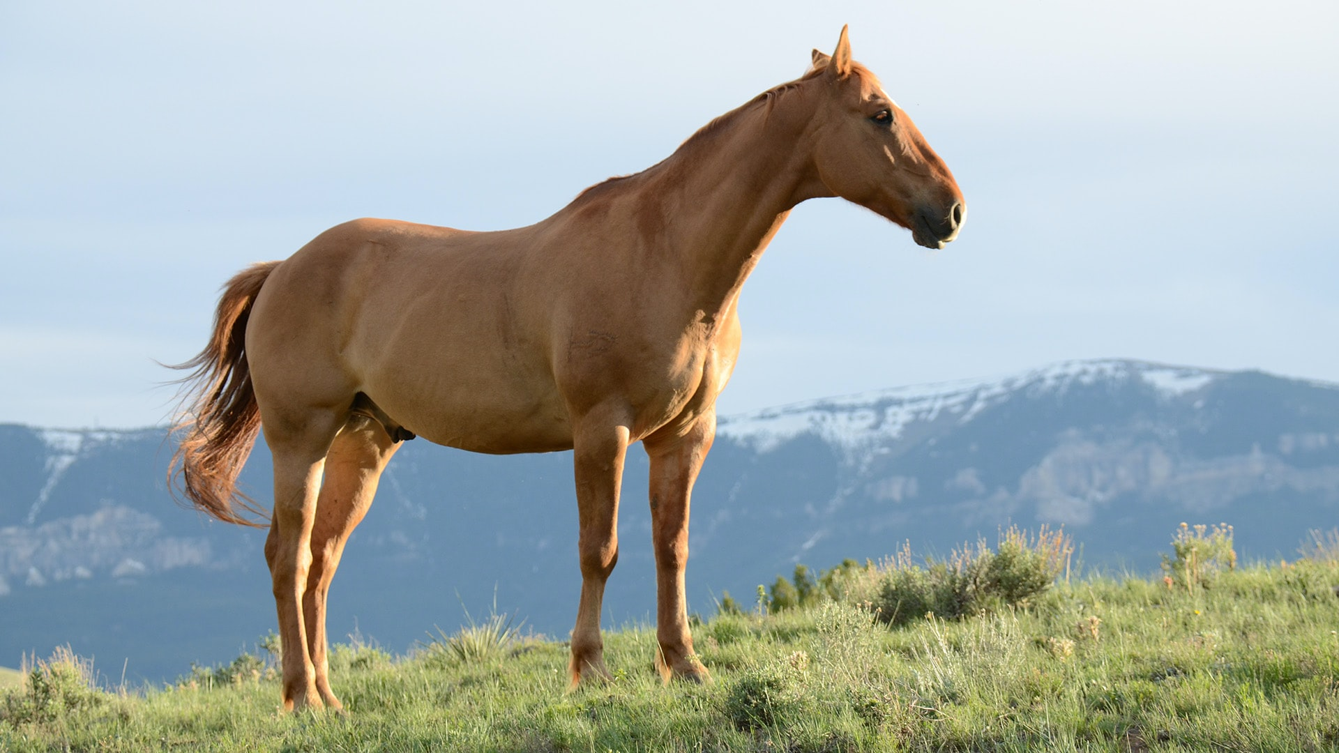 A light chestnut horse standing on a green slope with a snowy mountain range in the distance