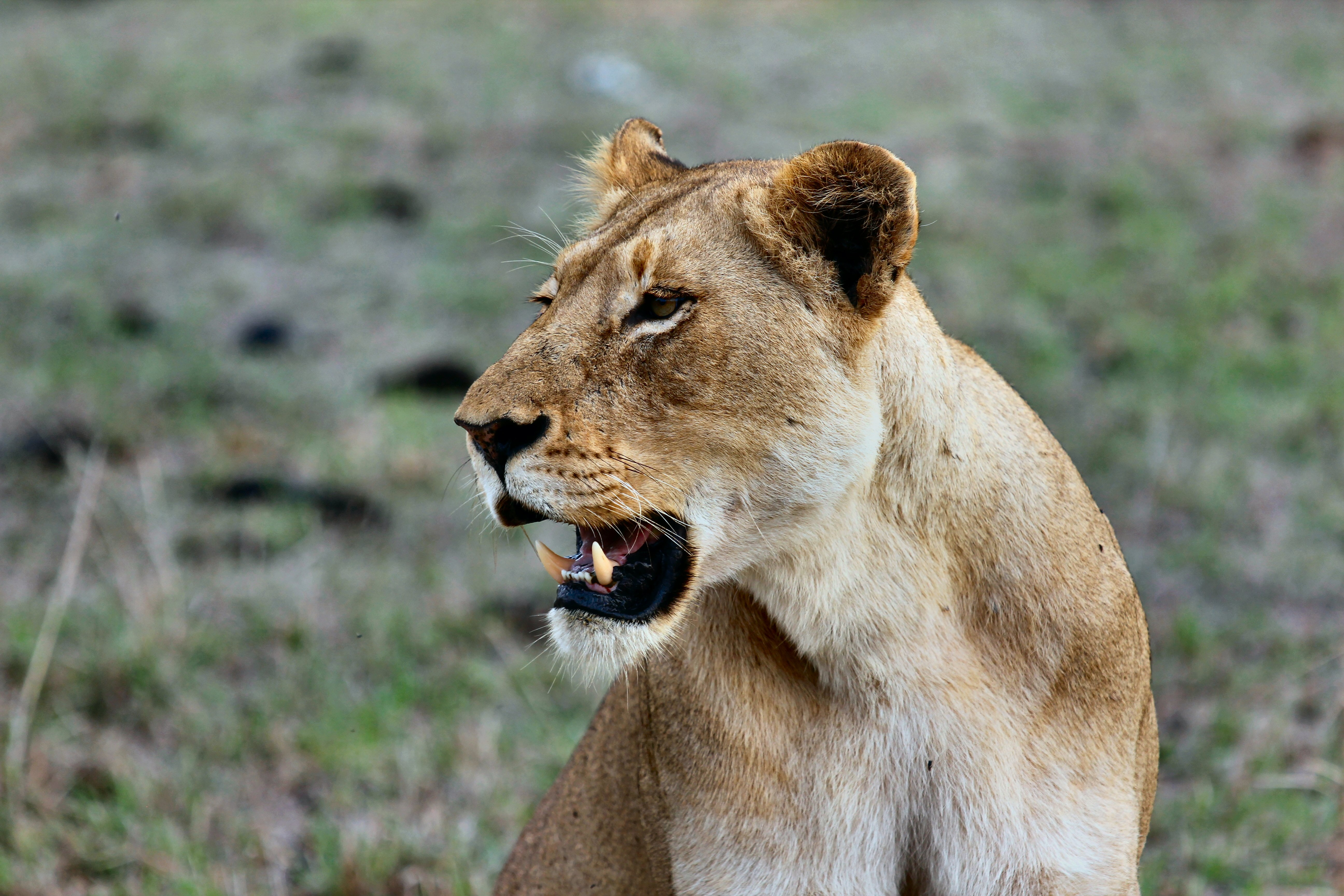 A female lion baring its fangs in Kruger Park