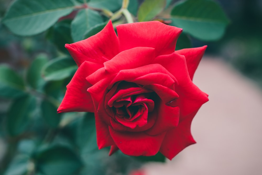 Single Rose Pictures Download Free Images On Unsplash