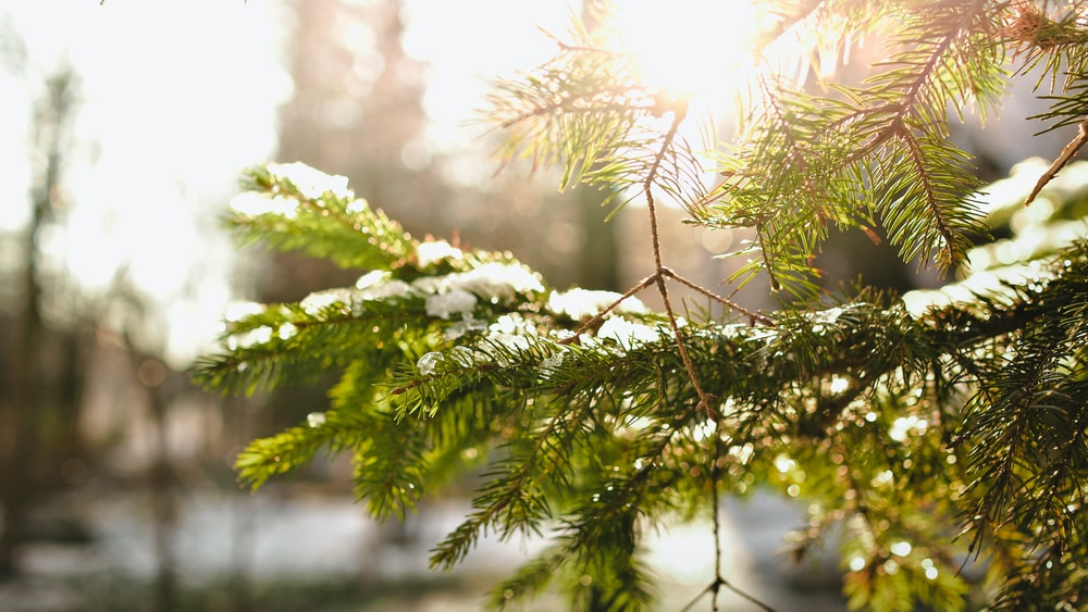 green pine tree leafed cover ice