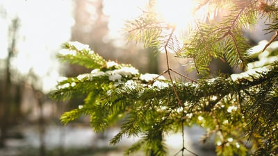 Sun on evergreen branch