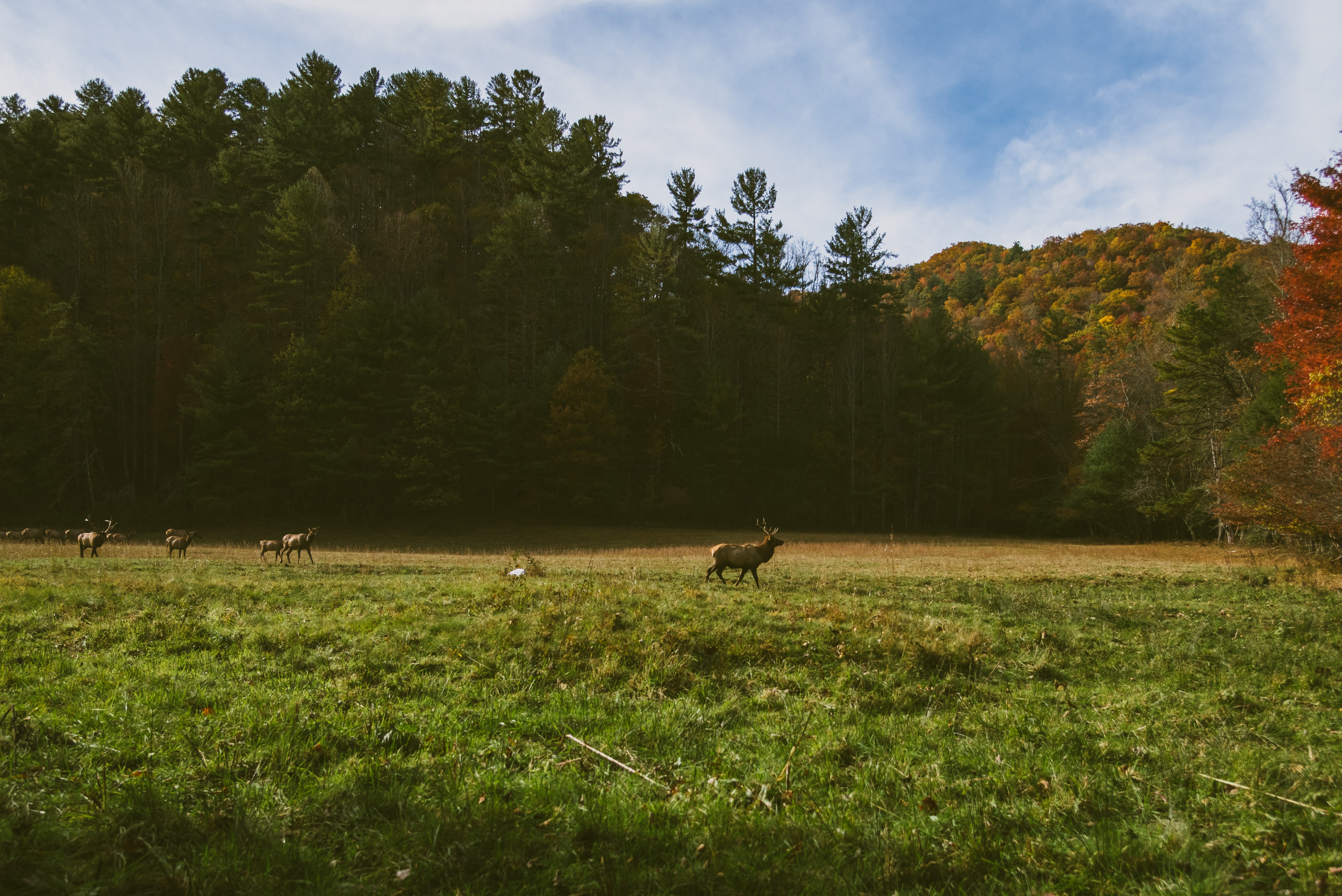 A herd of deers in a meadow near a forest in Cataloochee