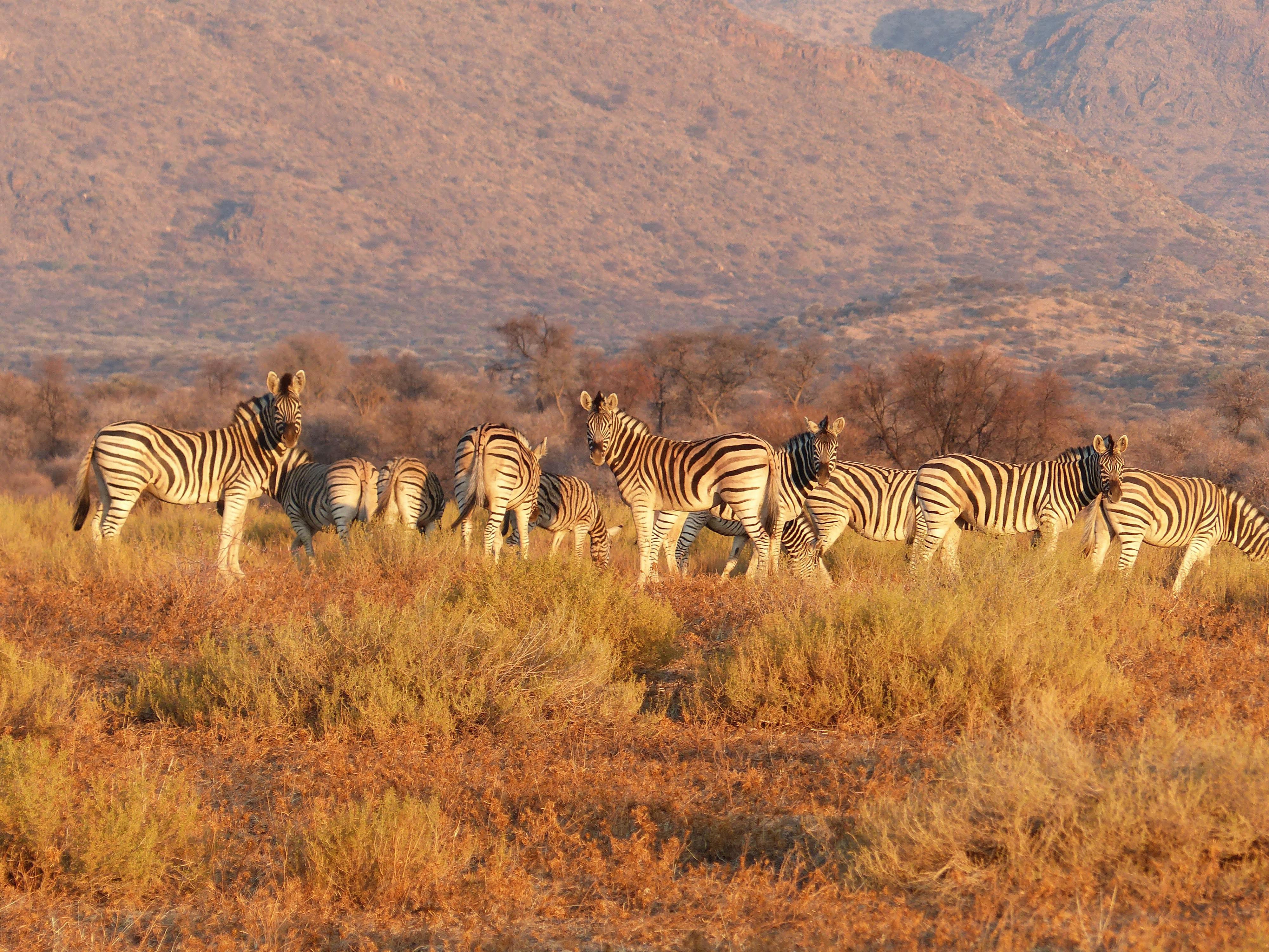 photo of herd of zebra on brown grass