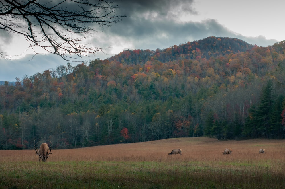 brown moose on field