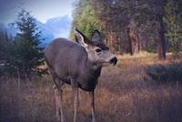 gray deer standing on grass field