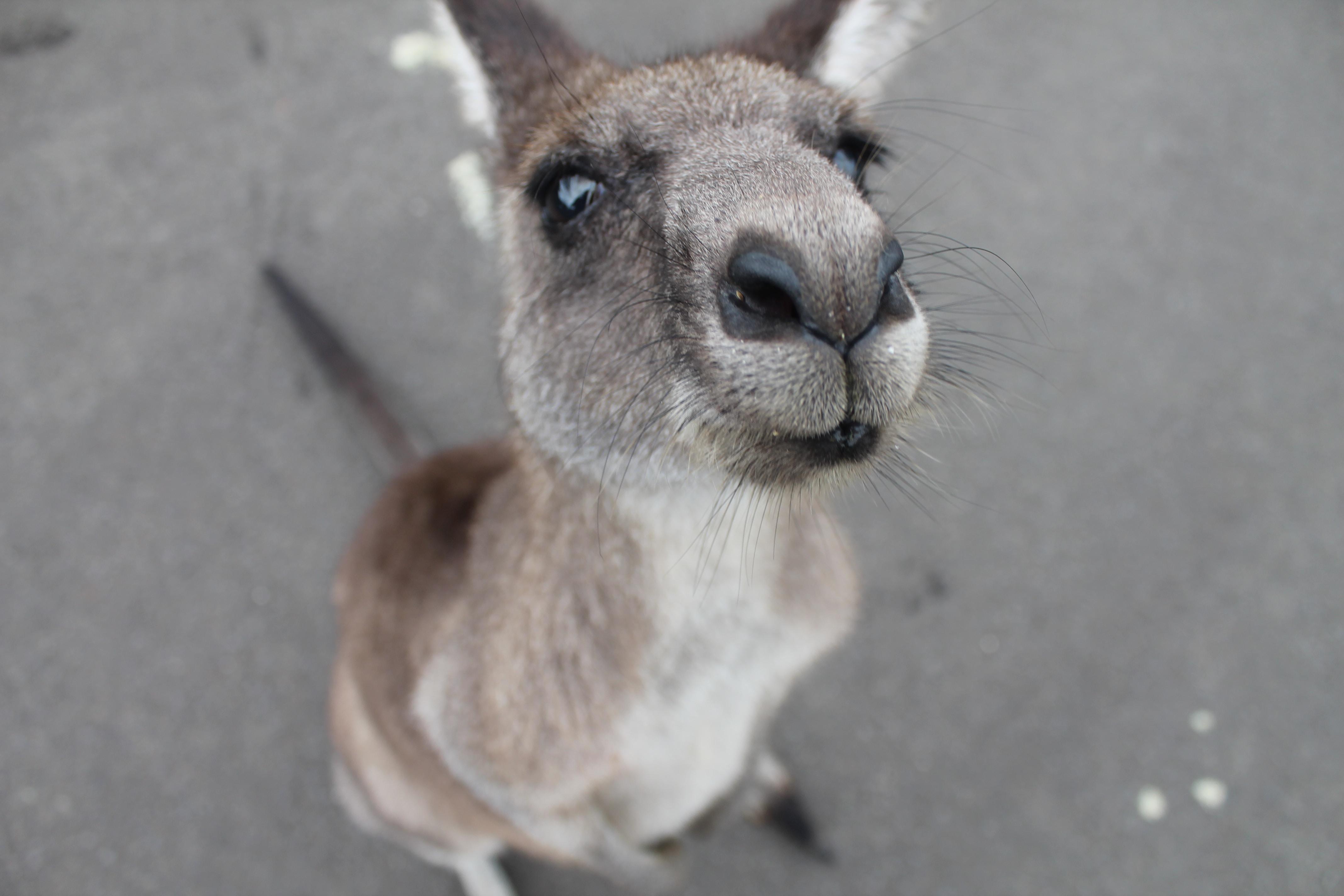 photo of gray kangaroo