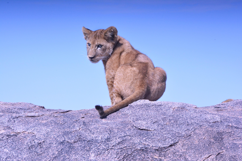 sucer par une cougar