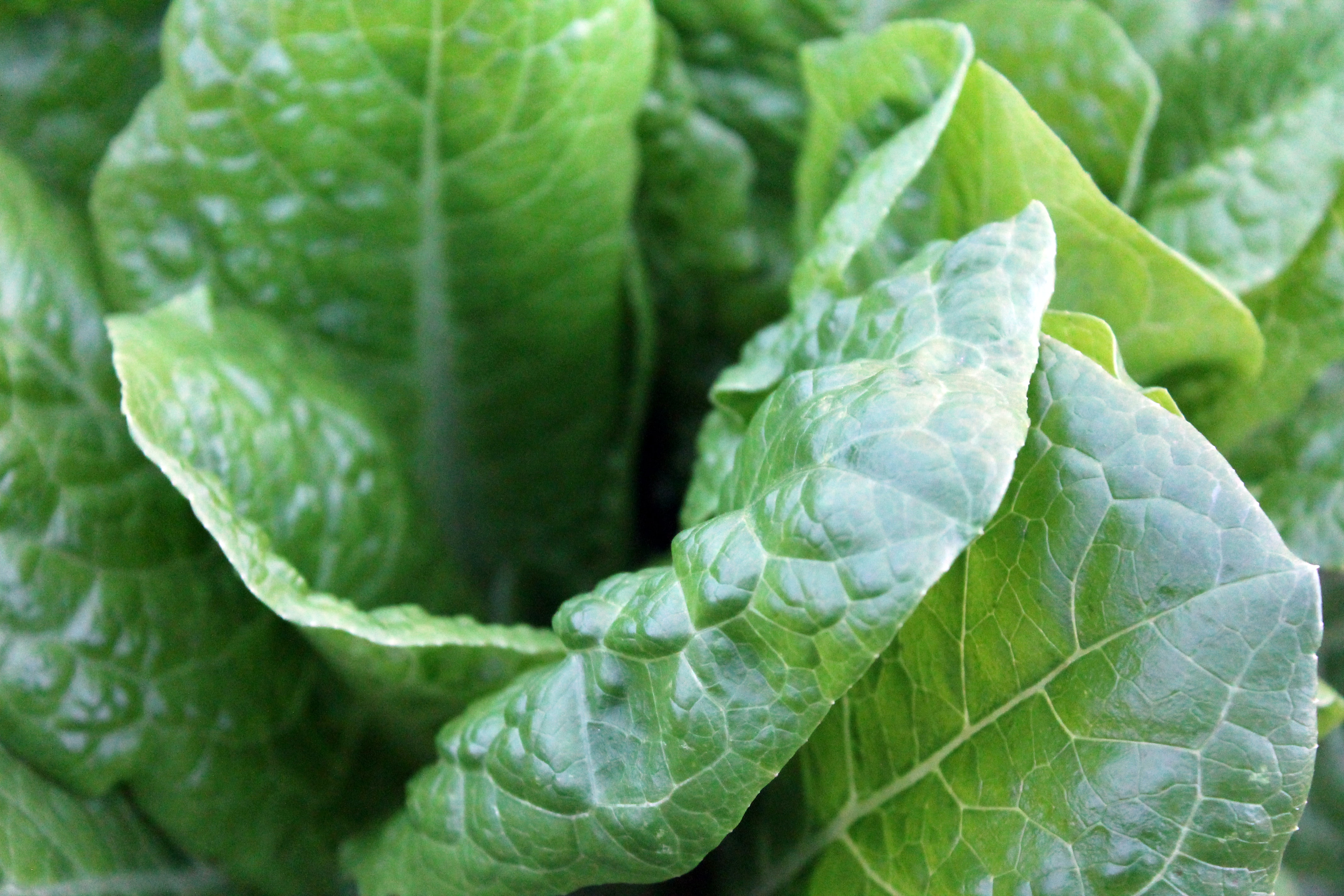 Macro of lettuce leaves in a garden