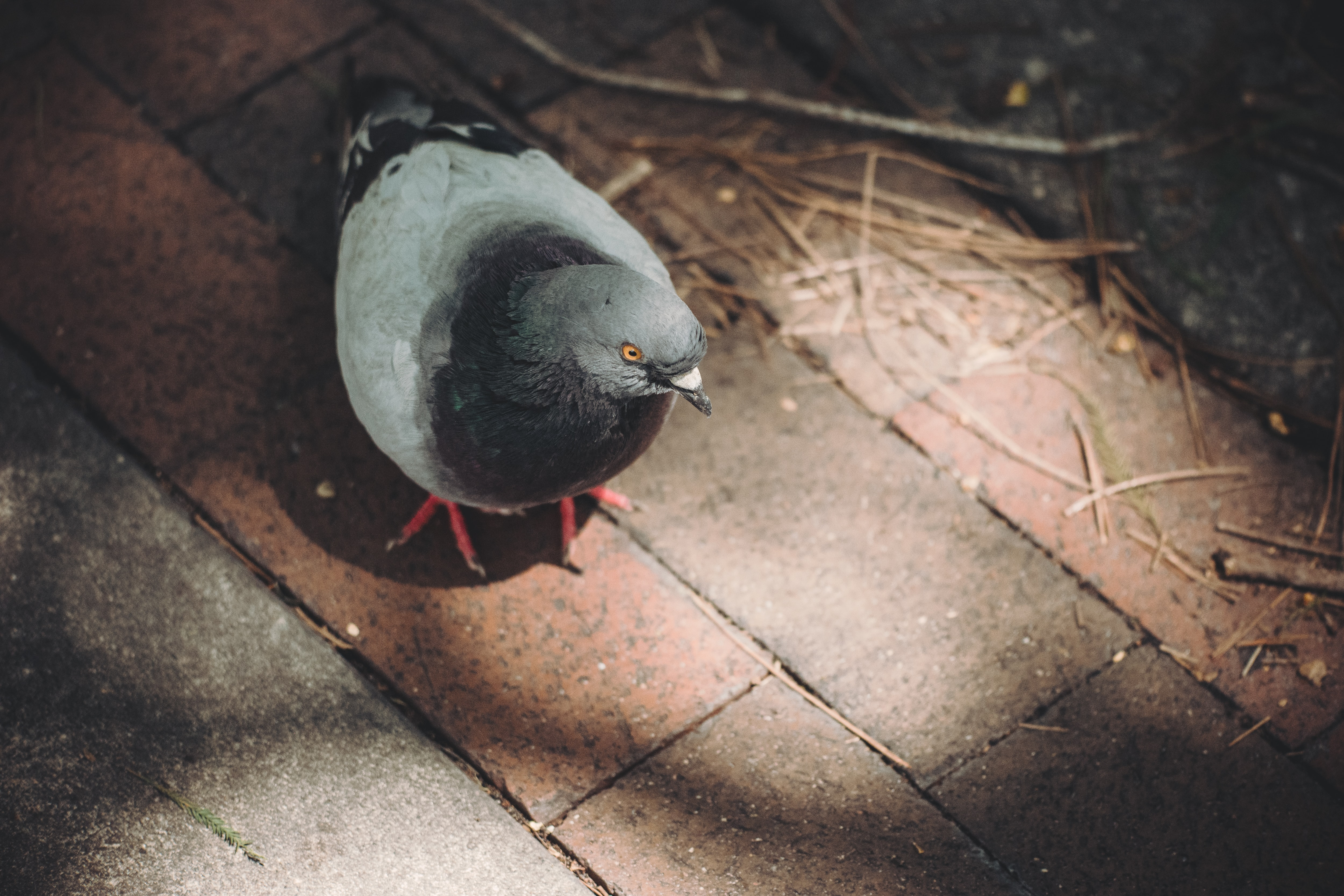 A pigeon walking around a brick floor with dried leaves and twigs