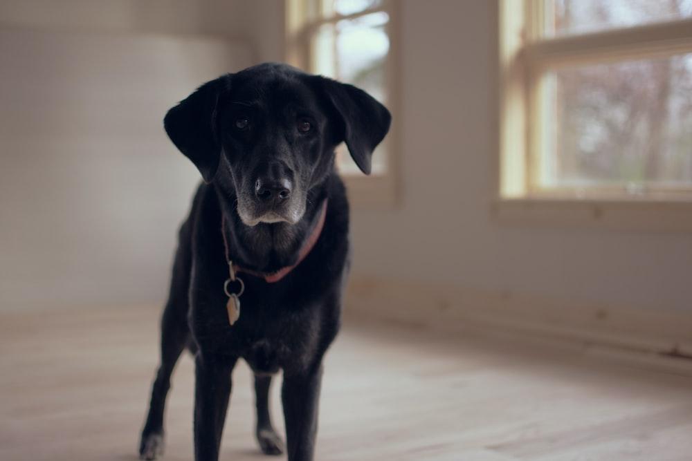 shallow focus photography of black dog along glass window