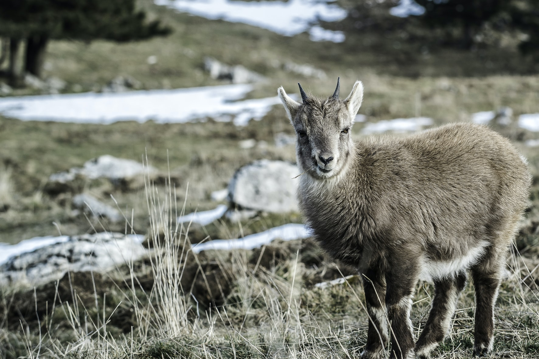 A wild goat staring into the distance on Point-I Val-de-Travers / Creux du Van with snow patches.