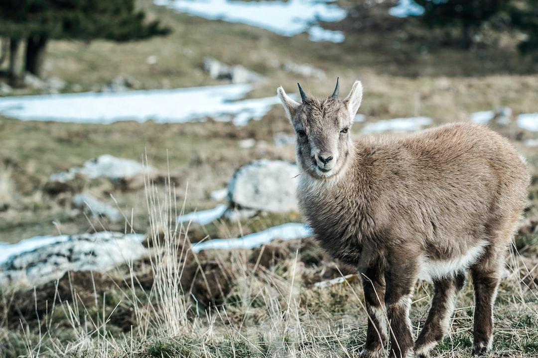 Wild goat staring on mountain