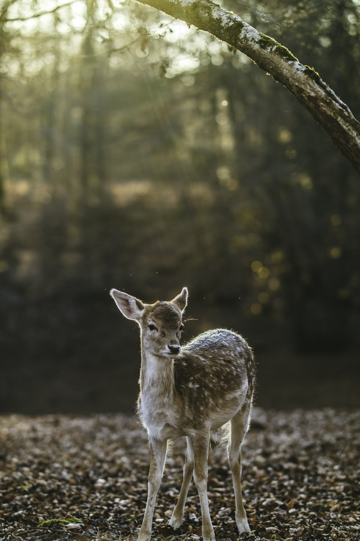 A calm fawn on the forest floor with sun breaking through the tree canopy in Besançon