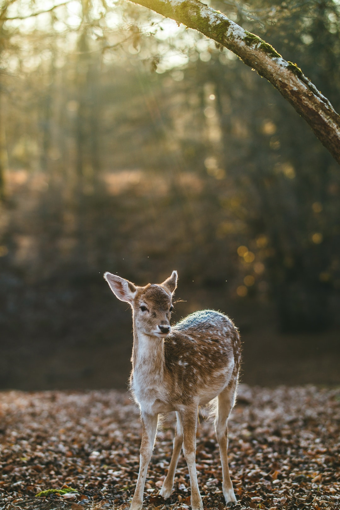 500 Baby Deer Pictures Hd Download Free Images On Unsplash