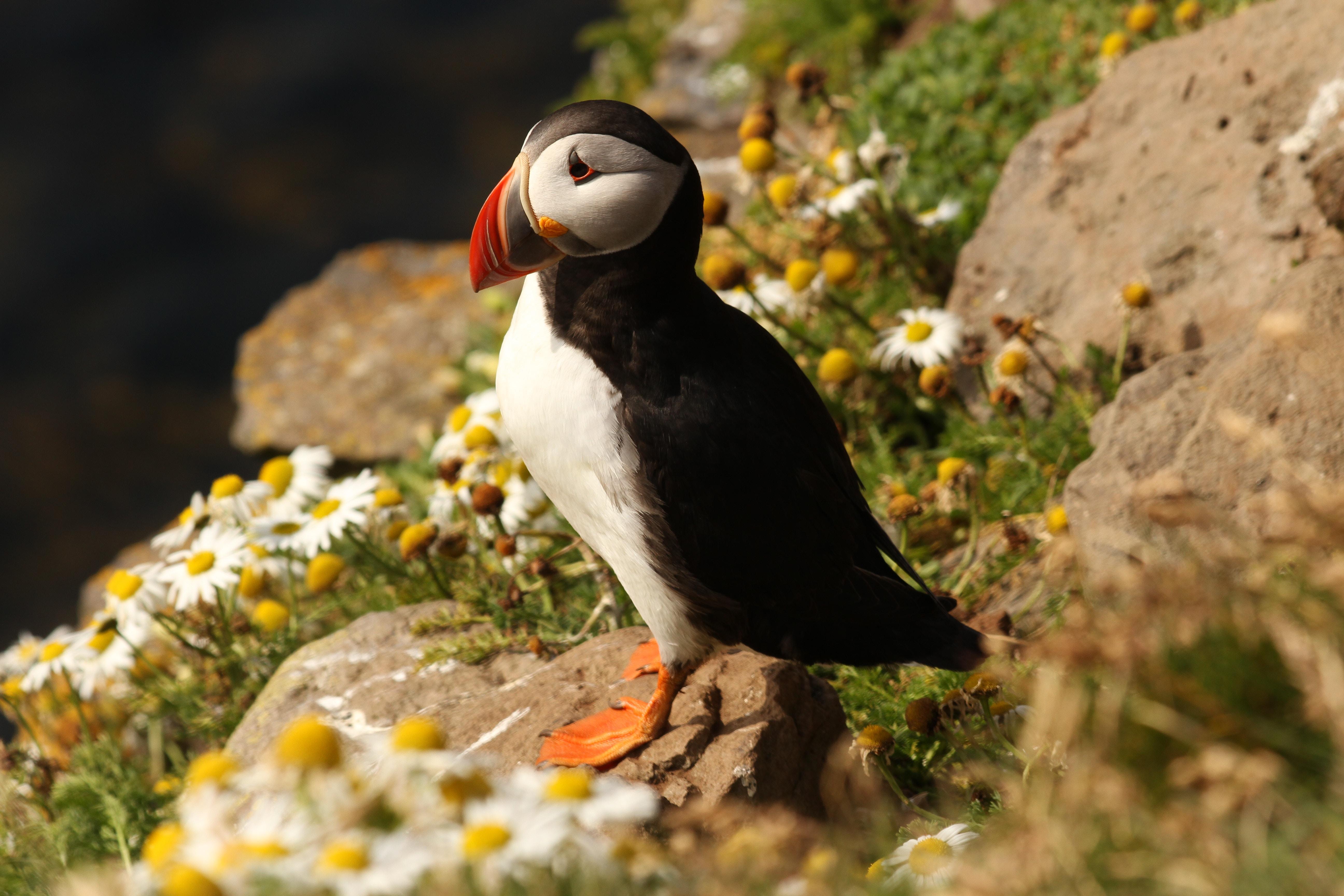 selective focus photography of puffin bird