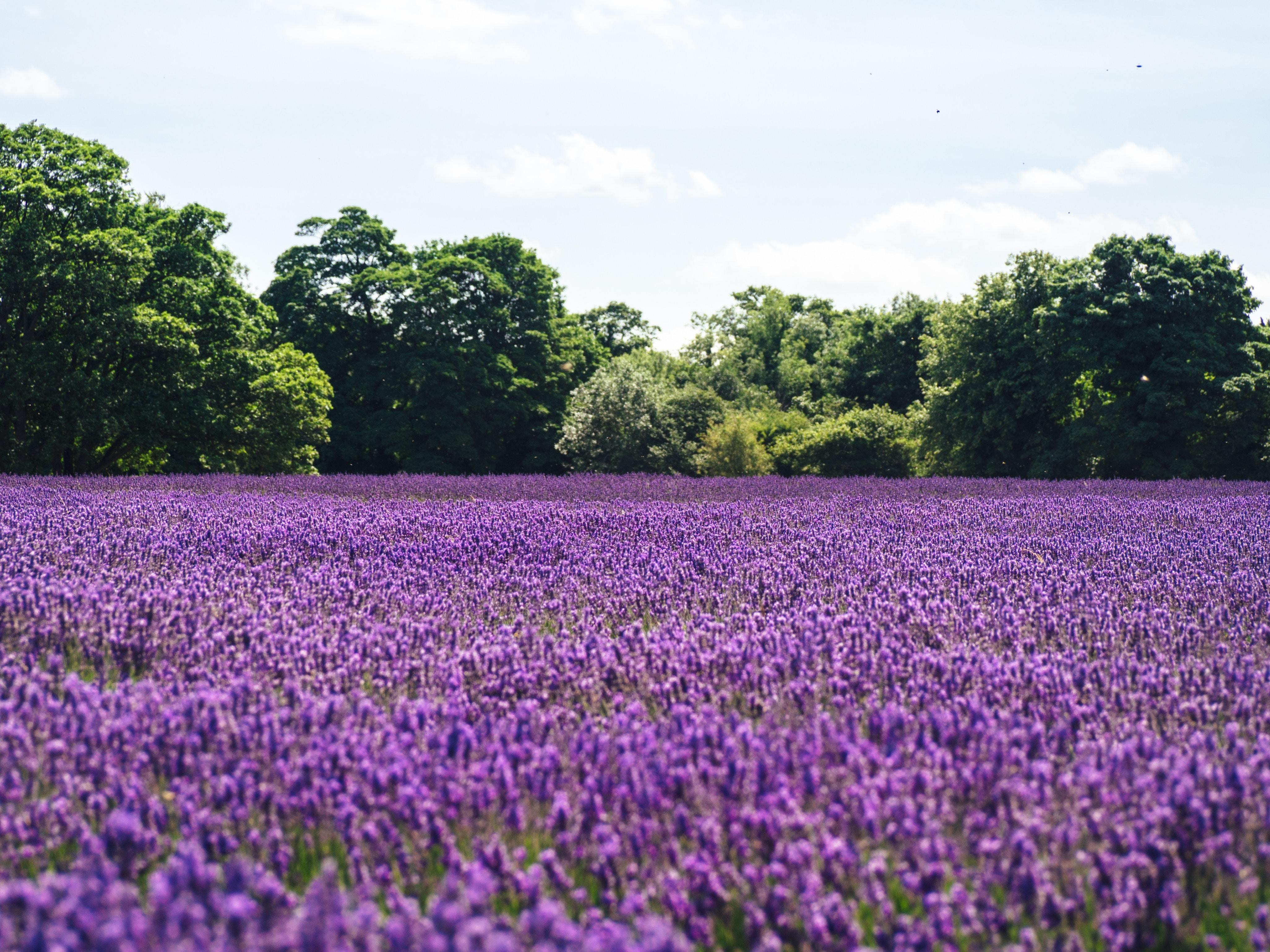 lavender flower field near green trees