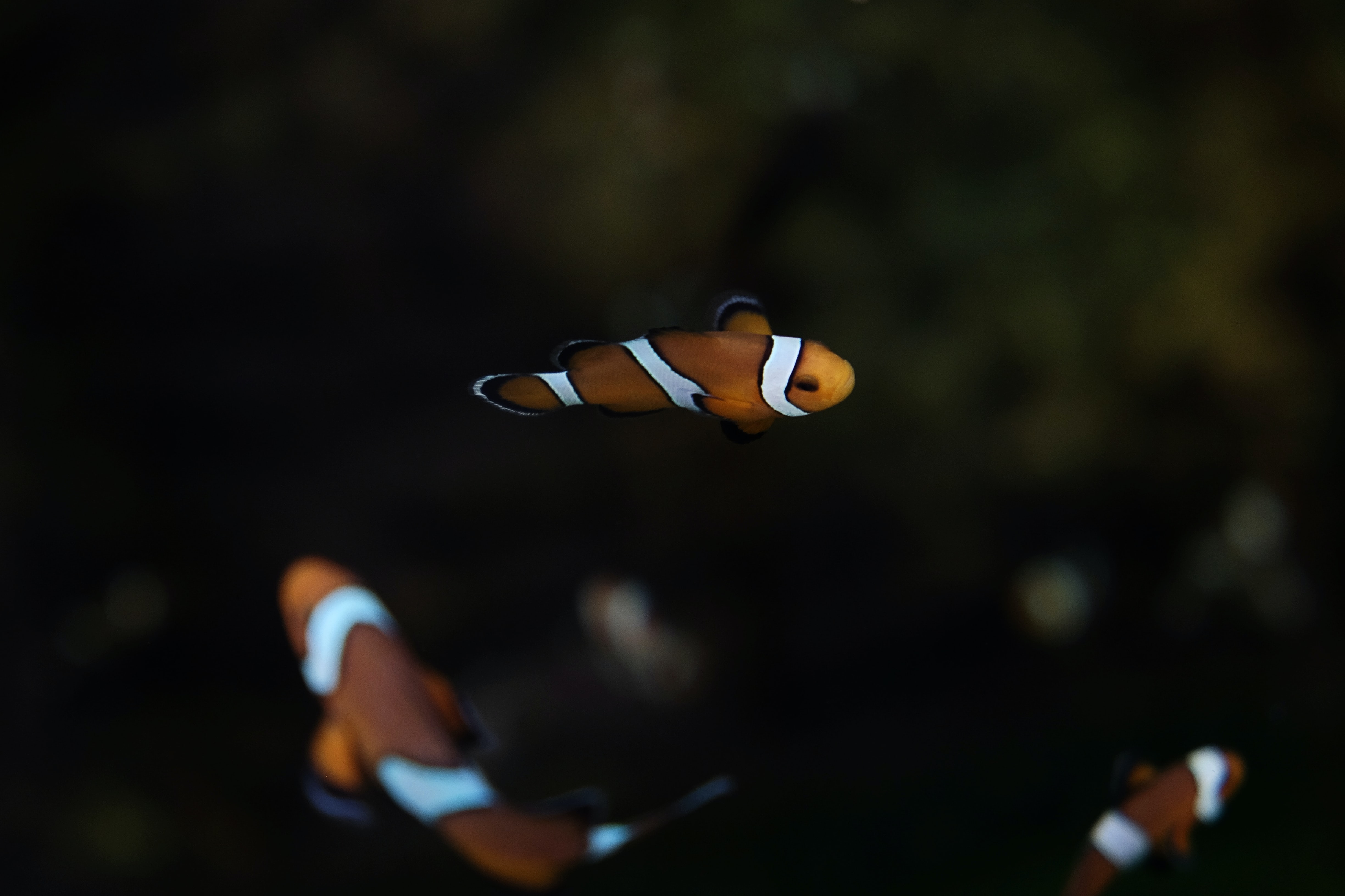 bokeh photography of fish