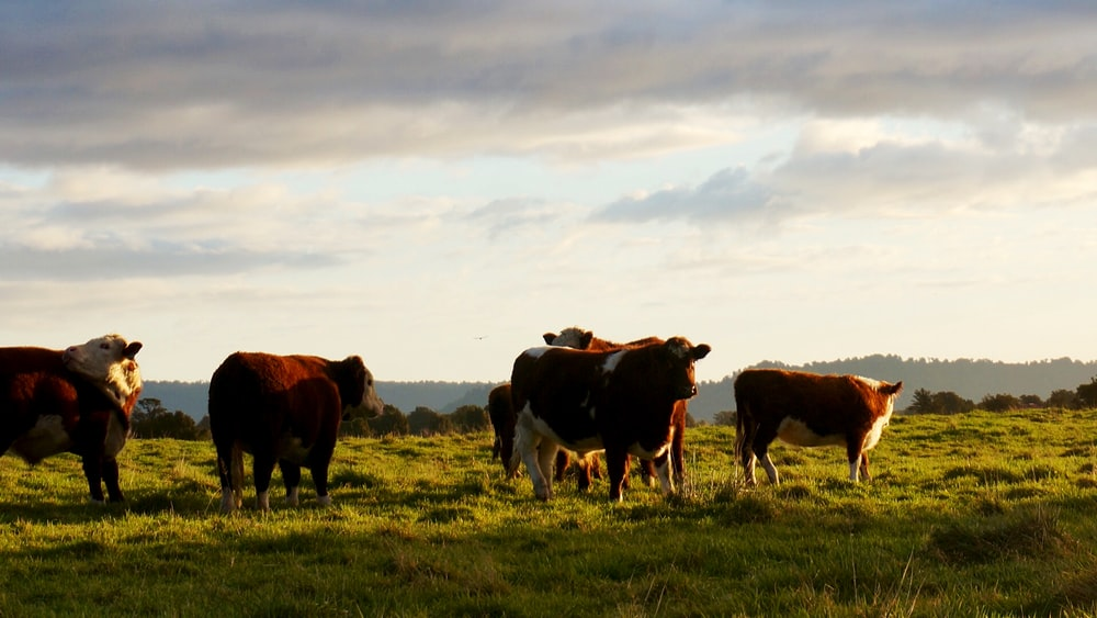 brown and white cows eating grasses