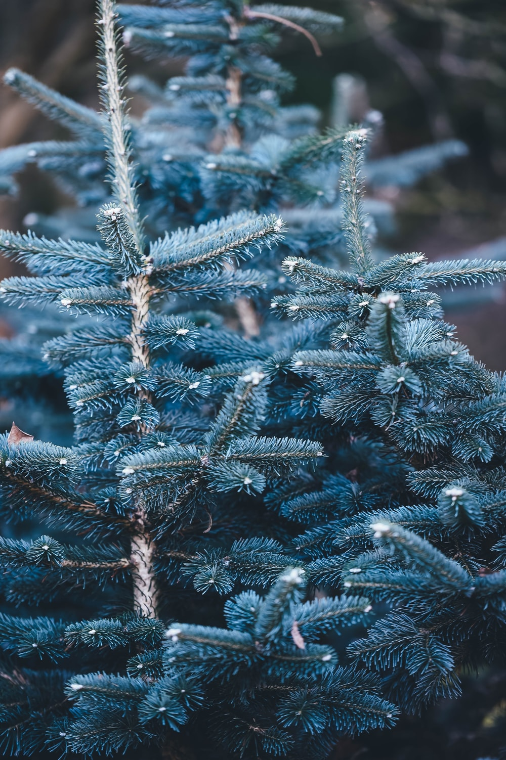 shallow focus photography of blue pine tree