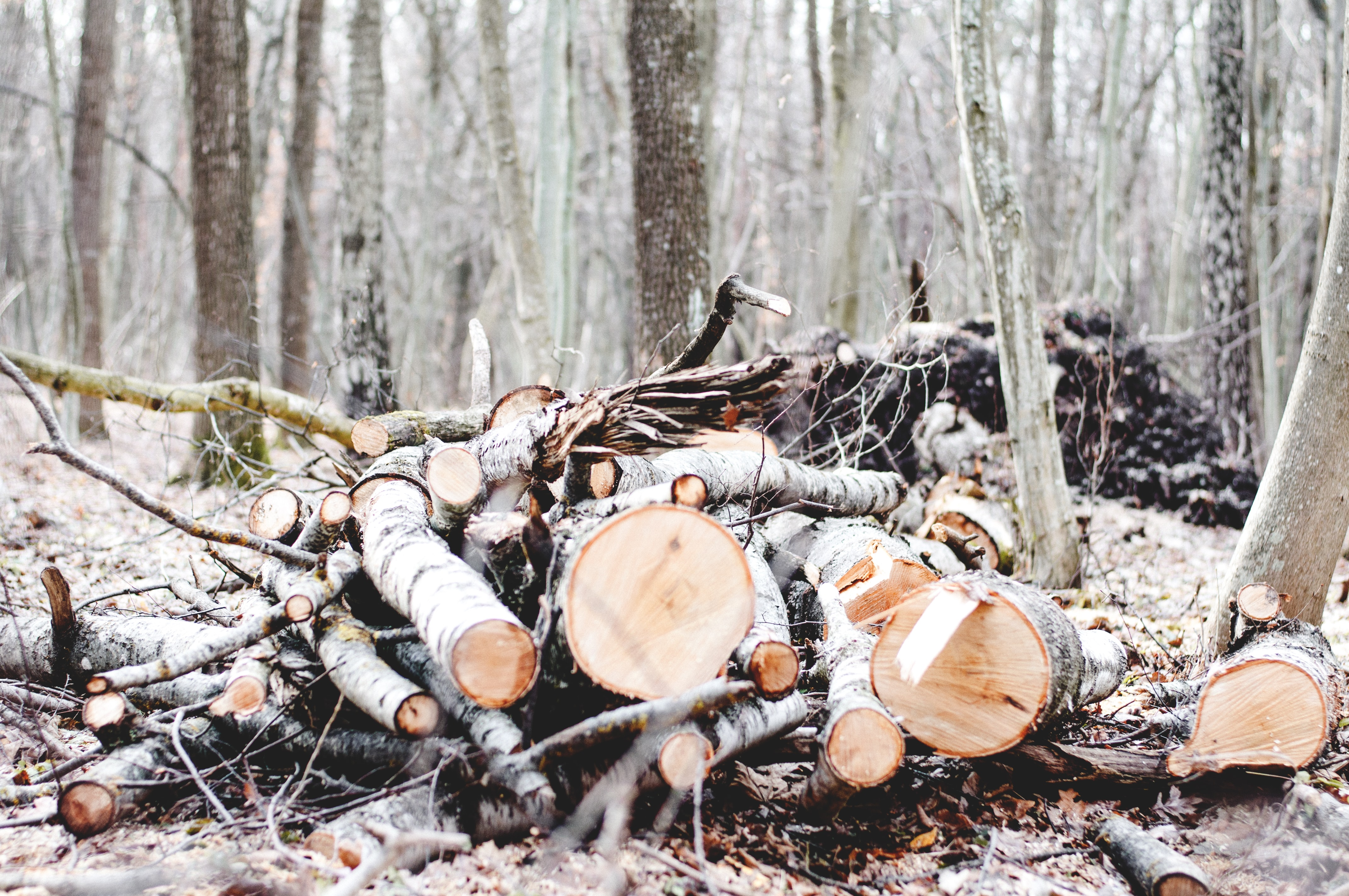 Chopped birch wood in the forest in Ostroh