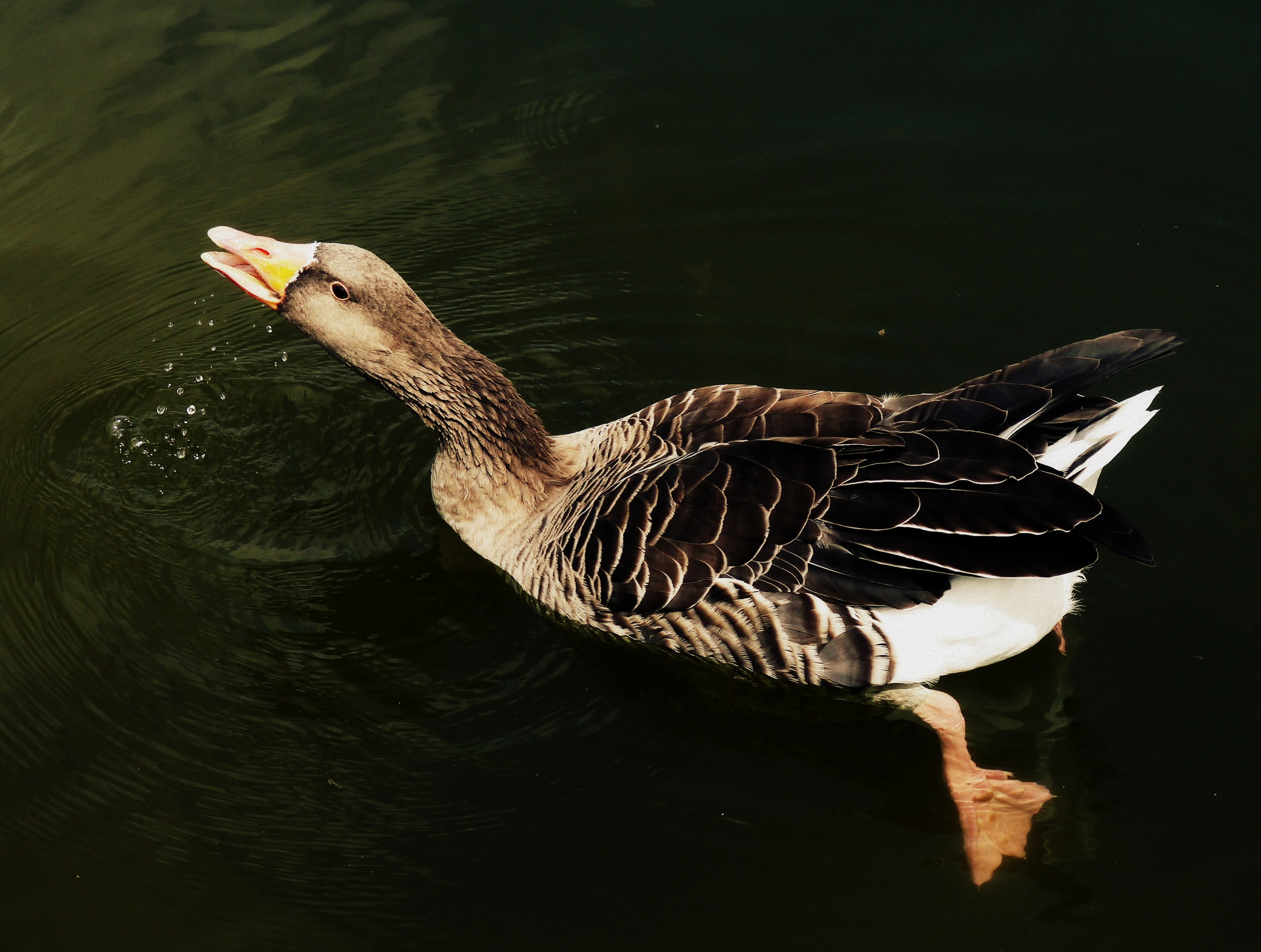 black duck swimming on body of water