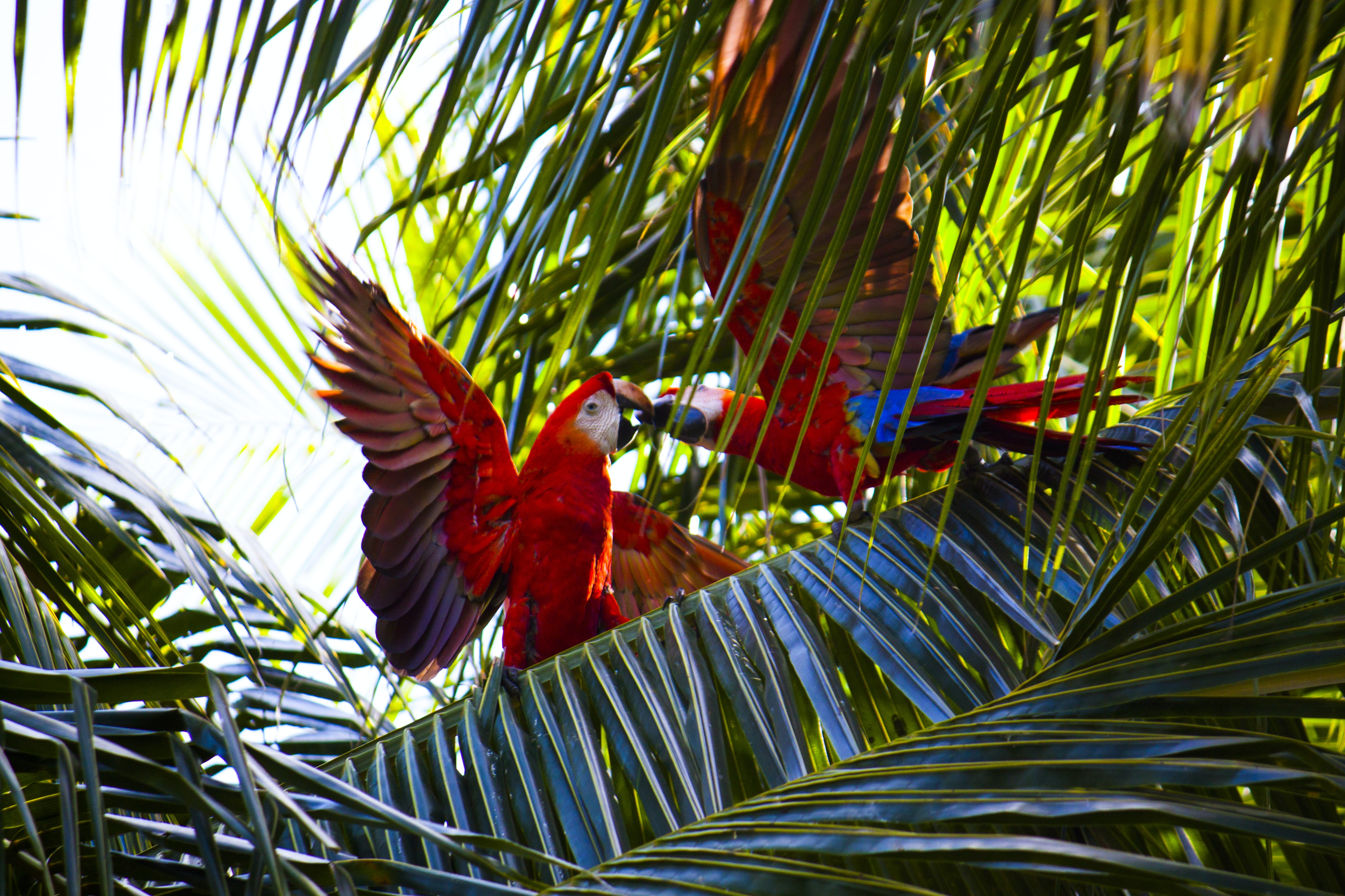 two red macaws on green leafed tree