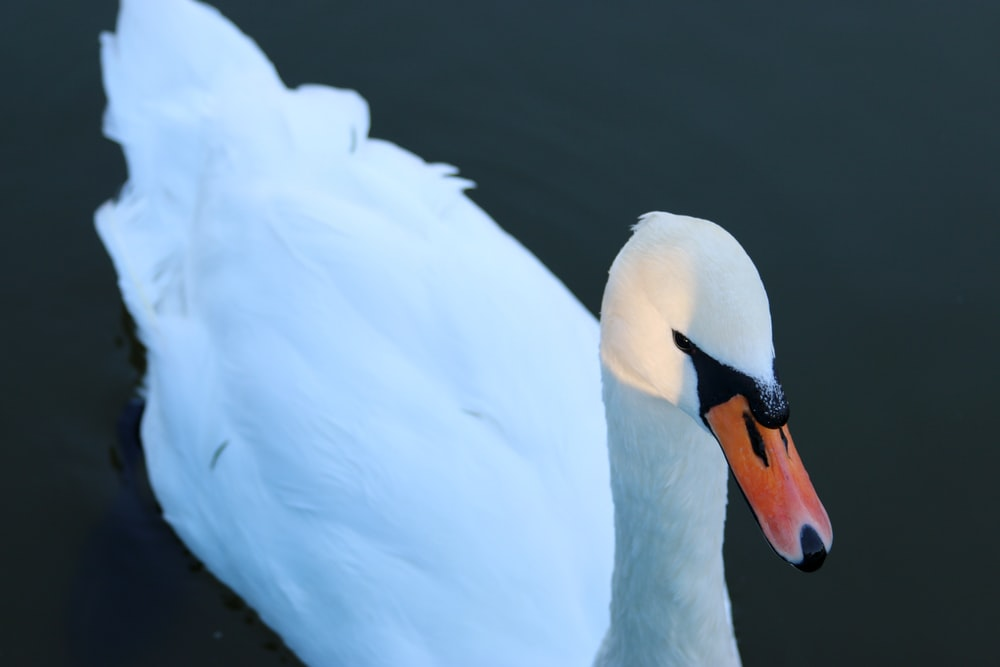 close-up photography of white duck