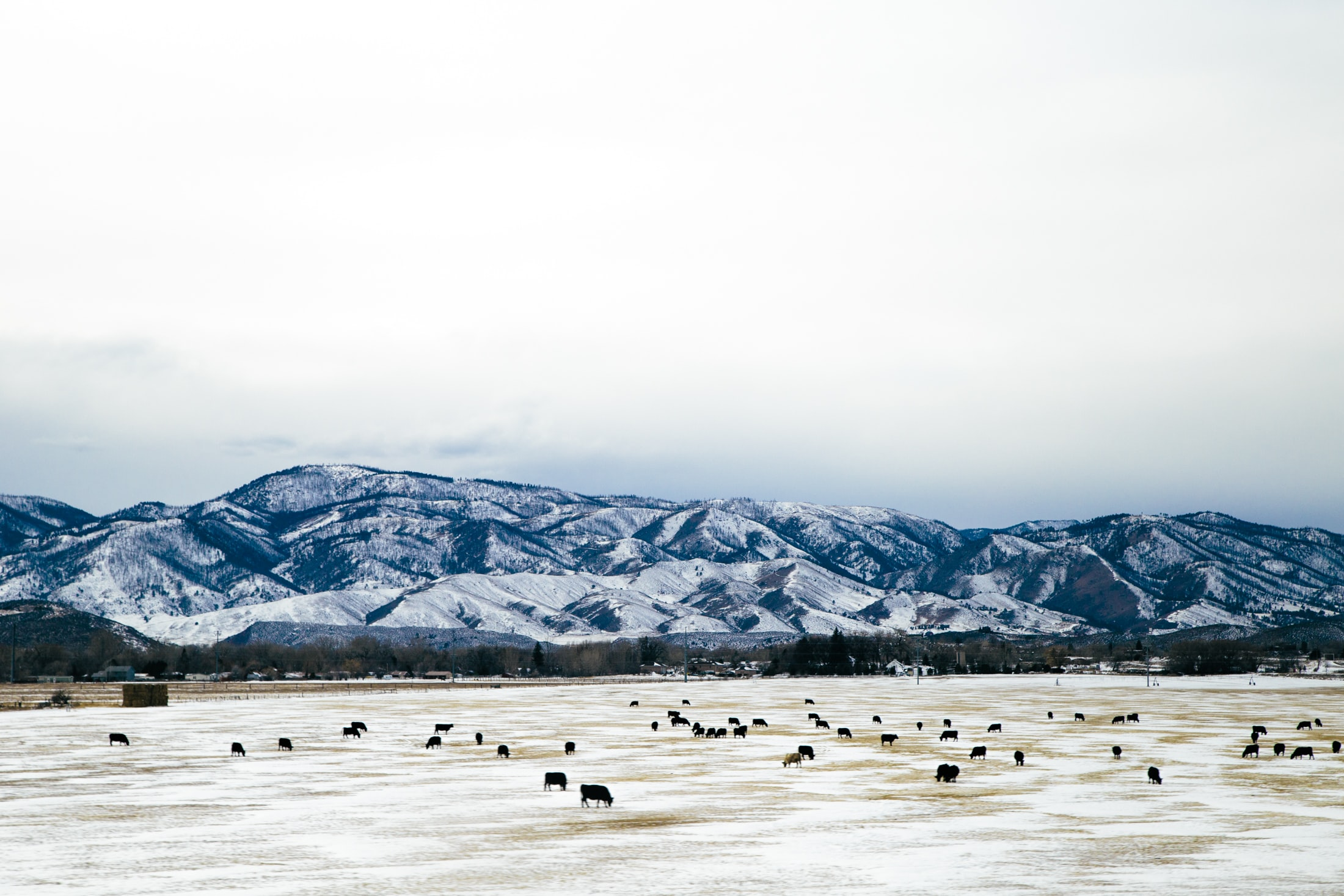 Livestock graze on the grassy, snowy plain below a distant mountain range